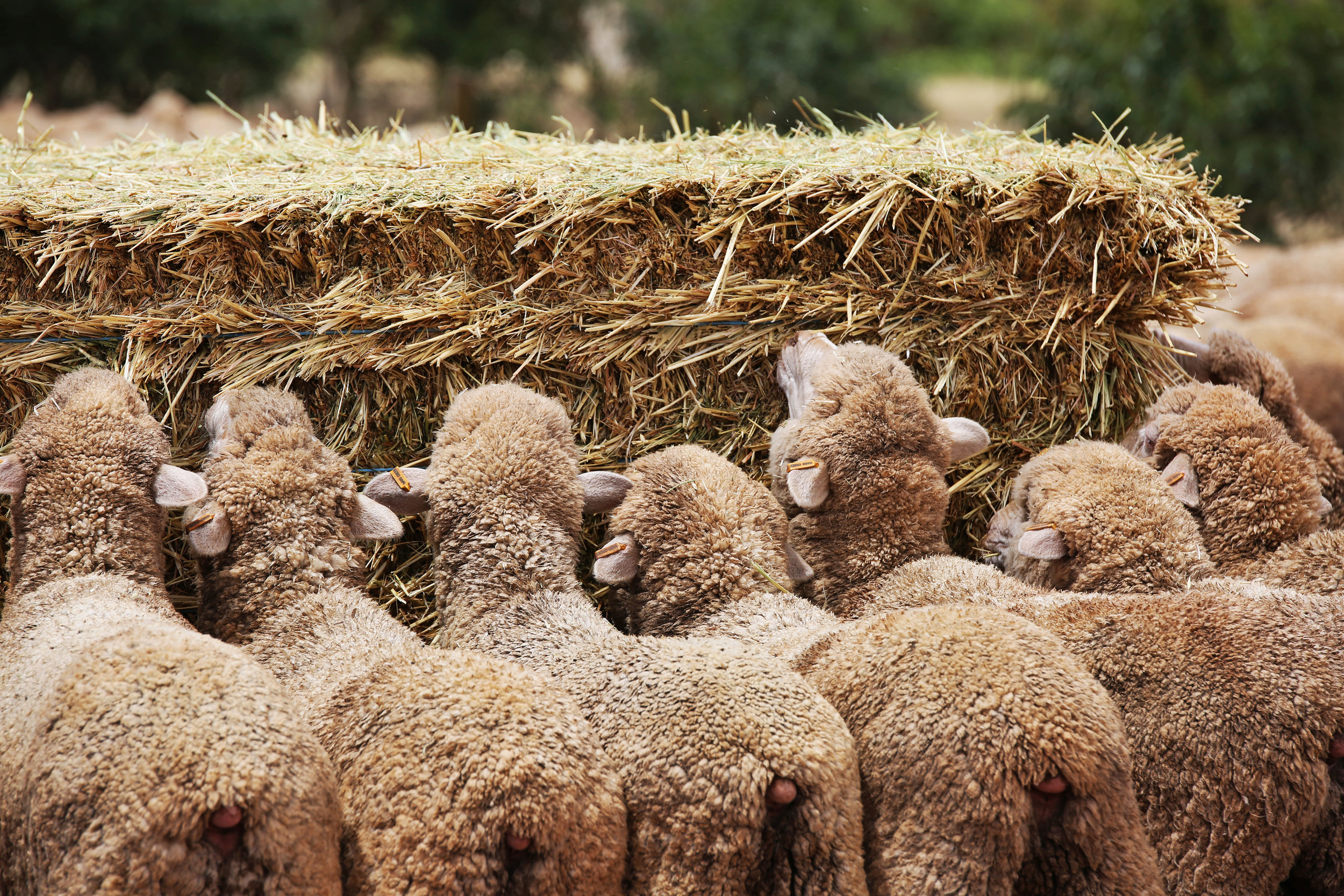 AgriPartner Consulting lambs eating hay