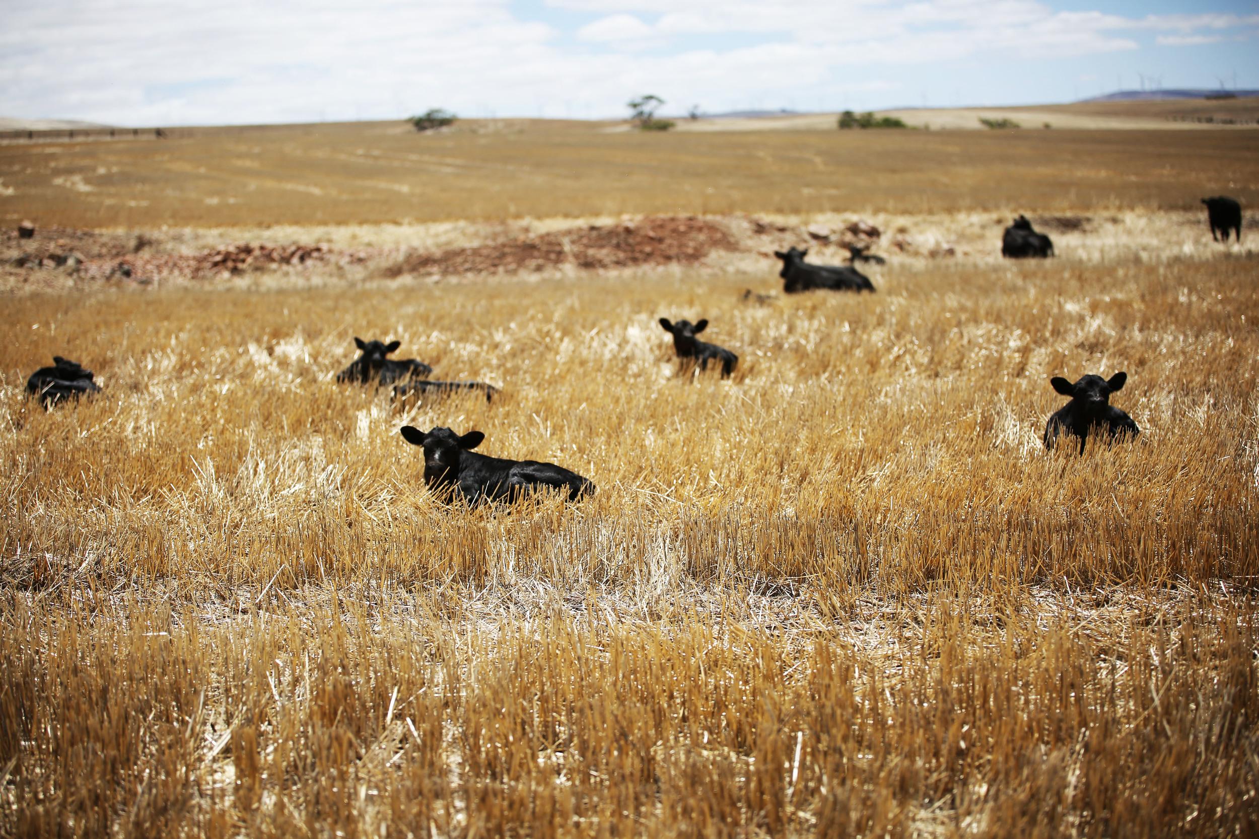 AgriPartner Consulting calf calves stubble