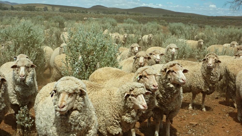 Sheep saltbush.JPG