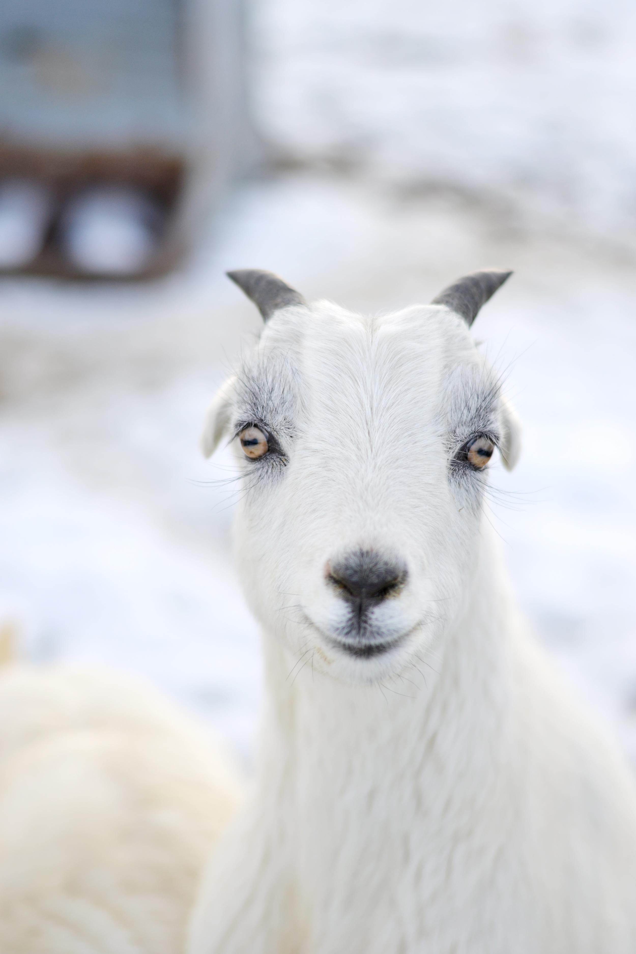 Baby goat with Eyelashes from Boxwood Avenue