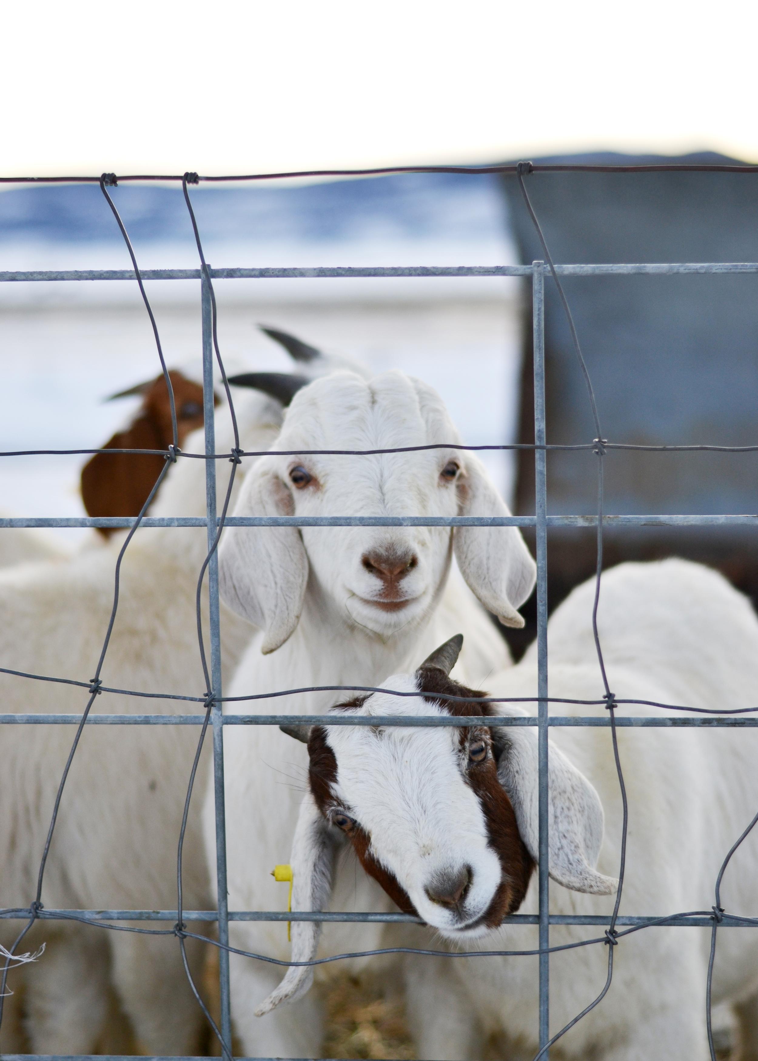 baby goats (Boxwood Avenue)