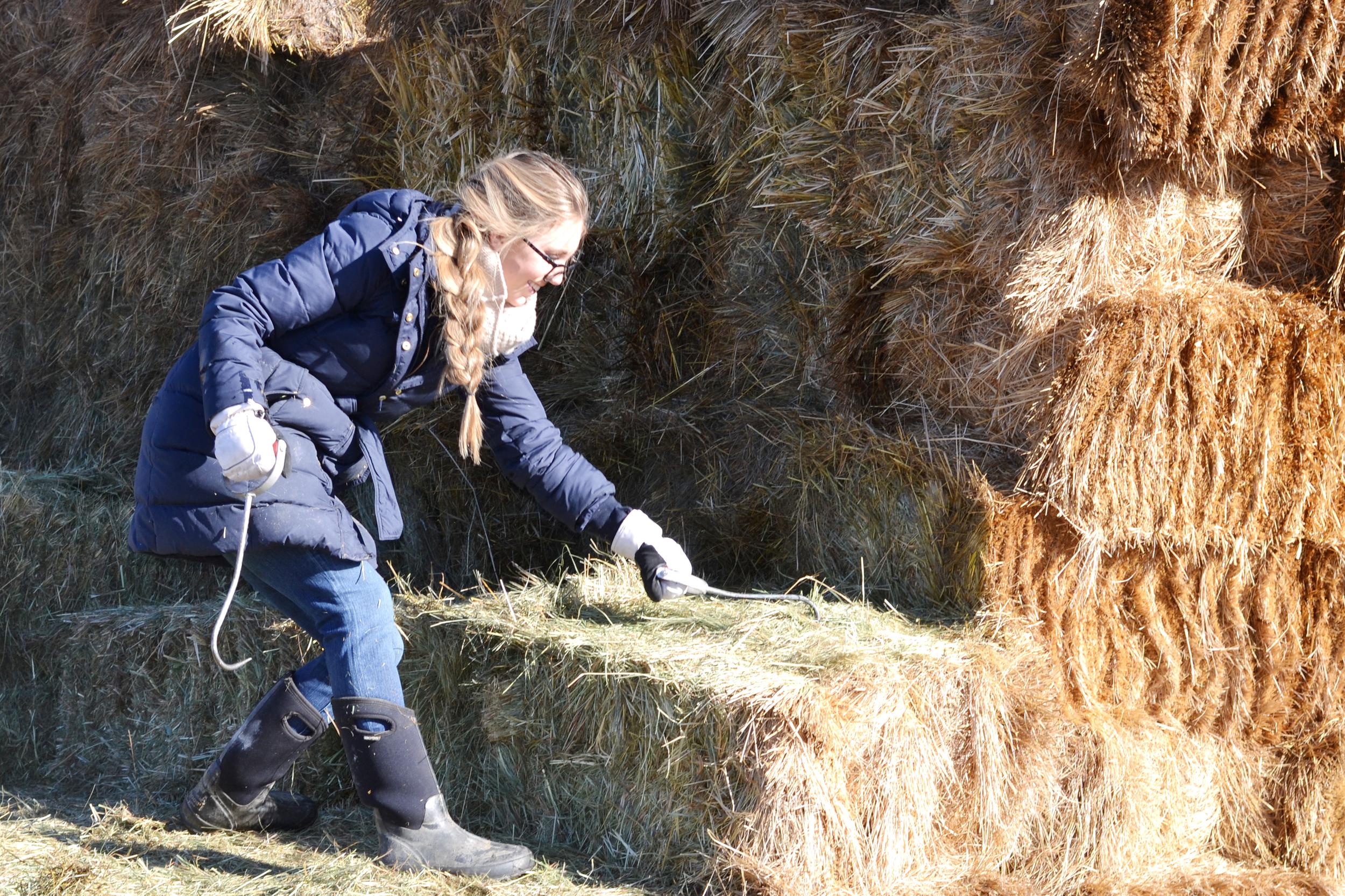 Boxwood Avenue feeding hay