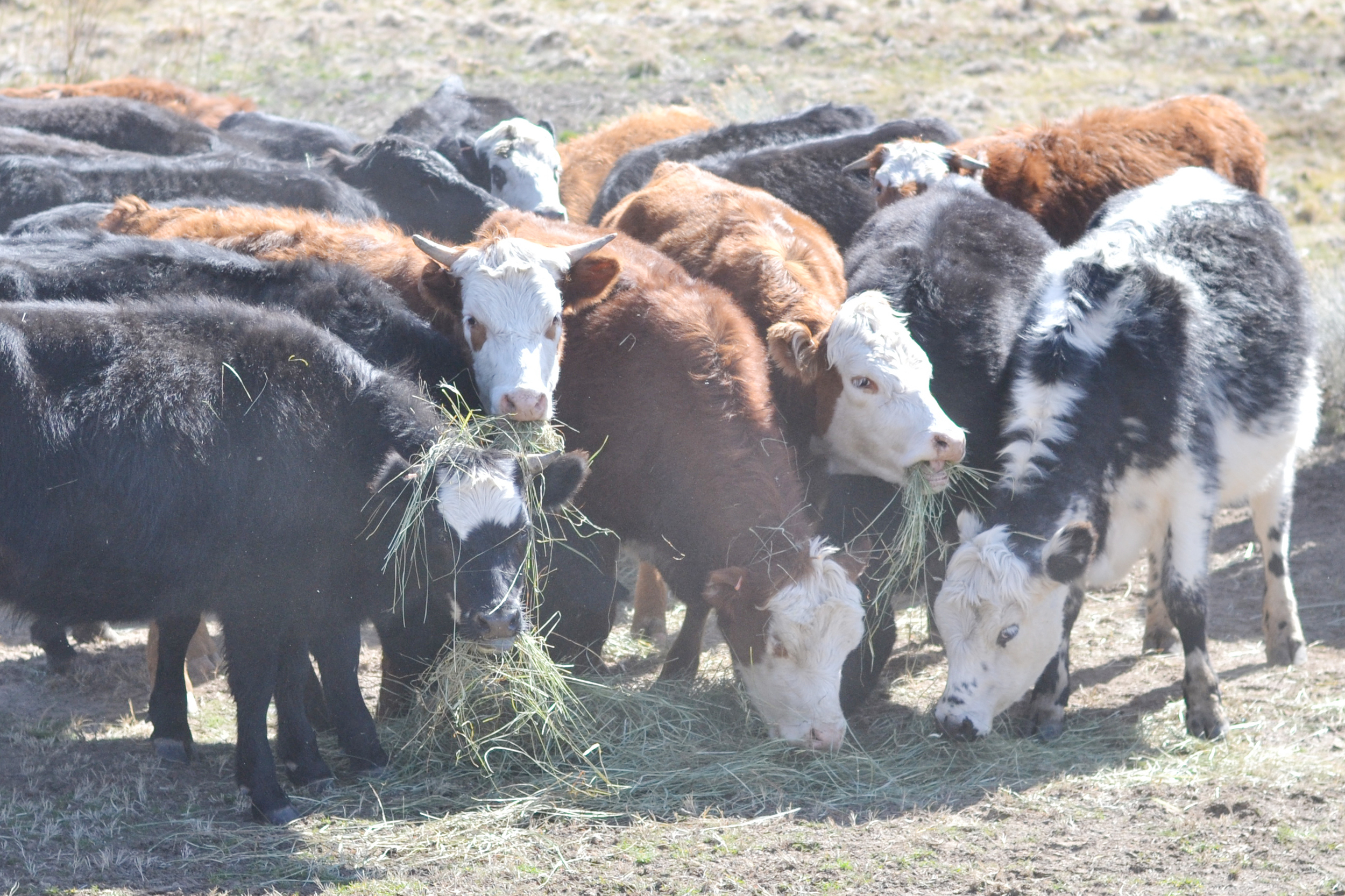 cows eating hay   boxwood avenue