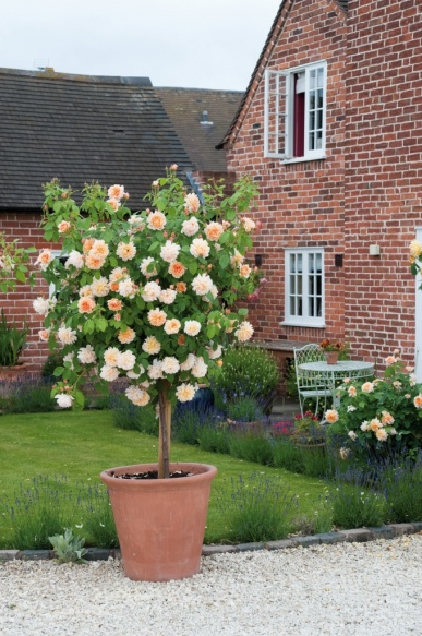 Flowering rose bush trained into tree form from David Austin Roses | Learn how to do this yourself!