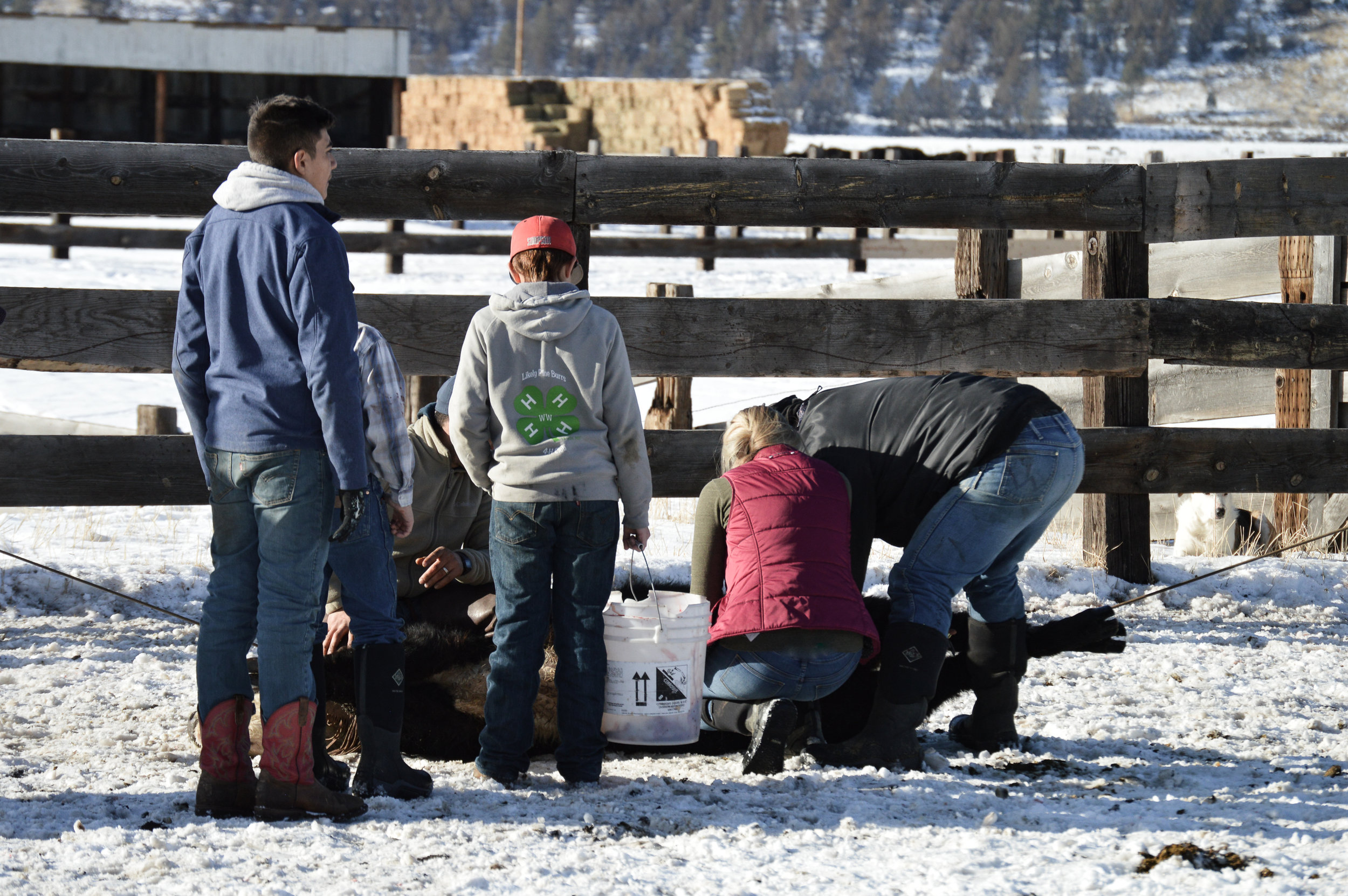 Cutting a bull with a few spectators - hope I'm doing it right!     Go Left Photography