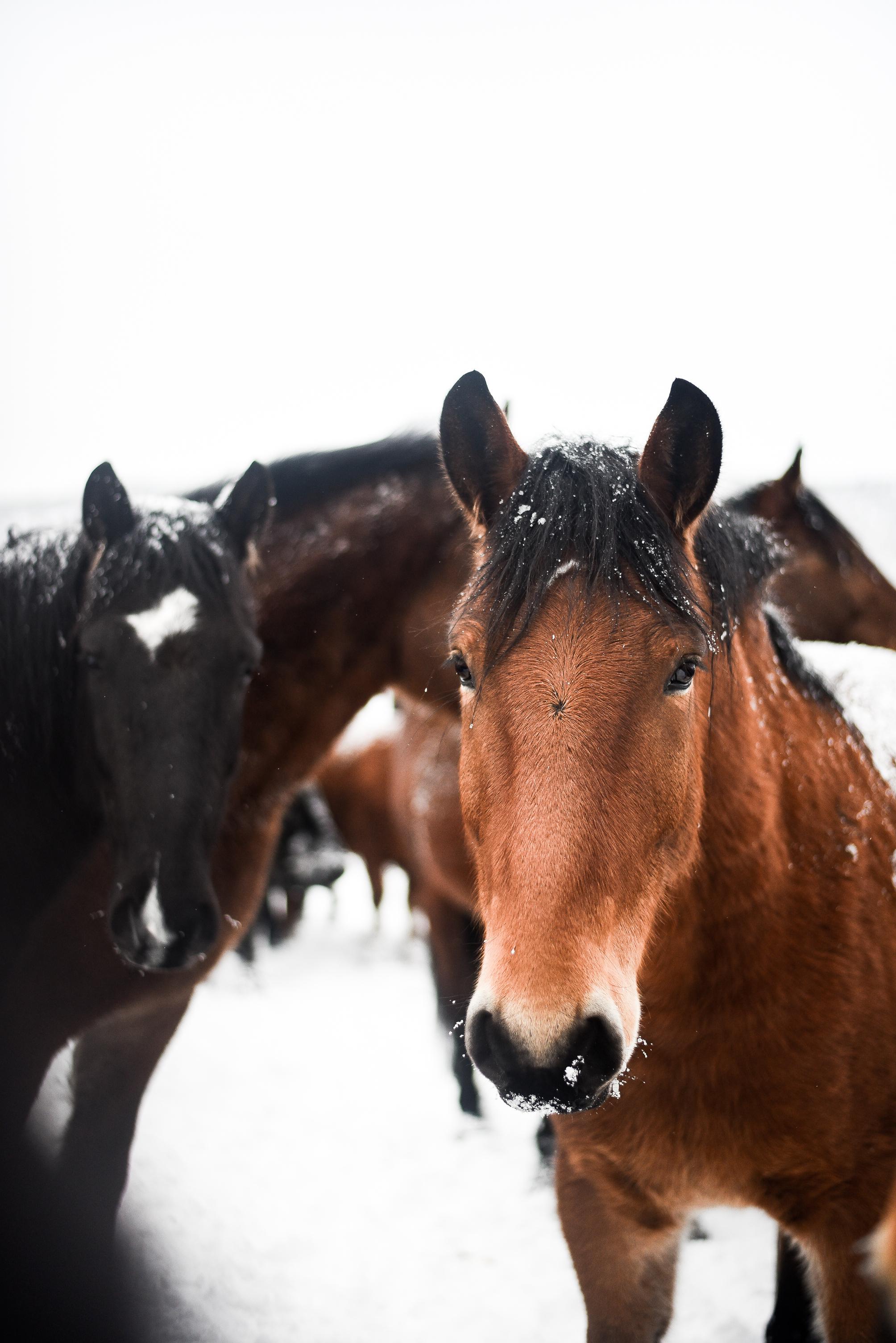 Snowy horses in Jess Valley, CA | boxwoodavenue.com