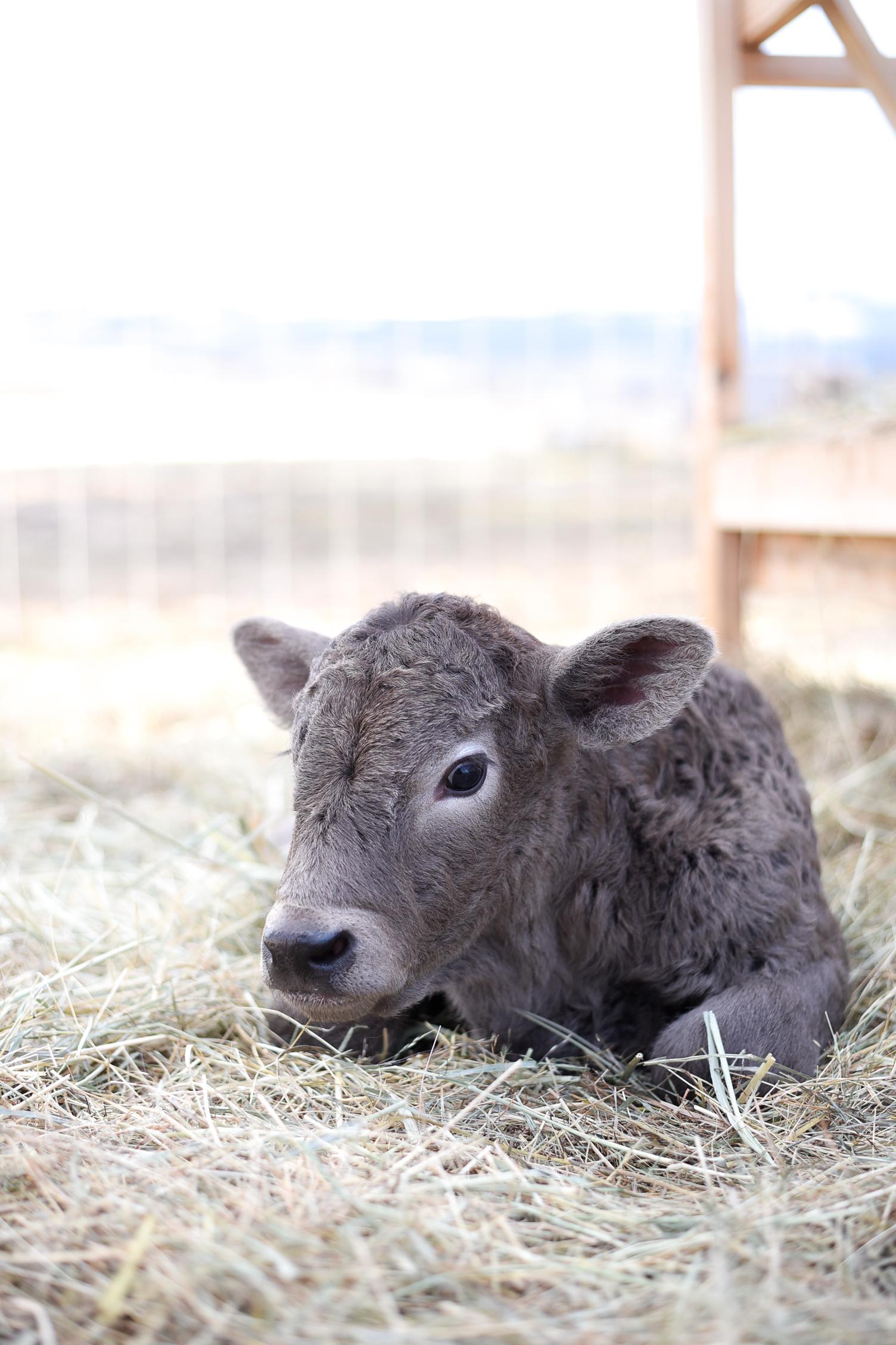 Bottle Baby Charolais Calf | boxwoodavenue.com