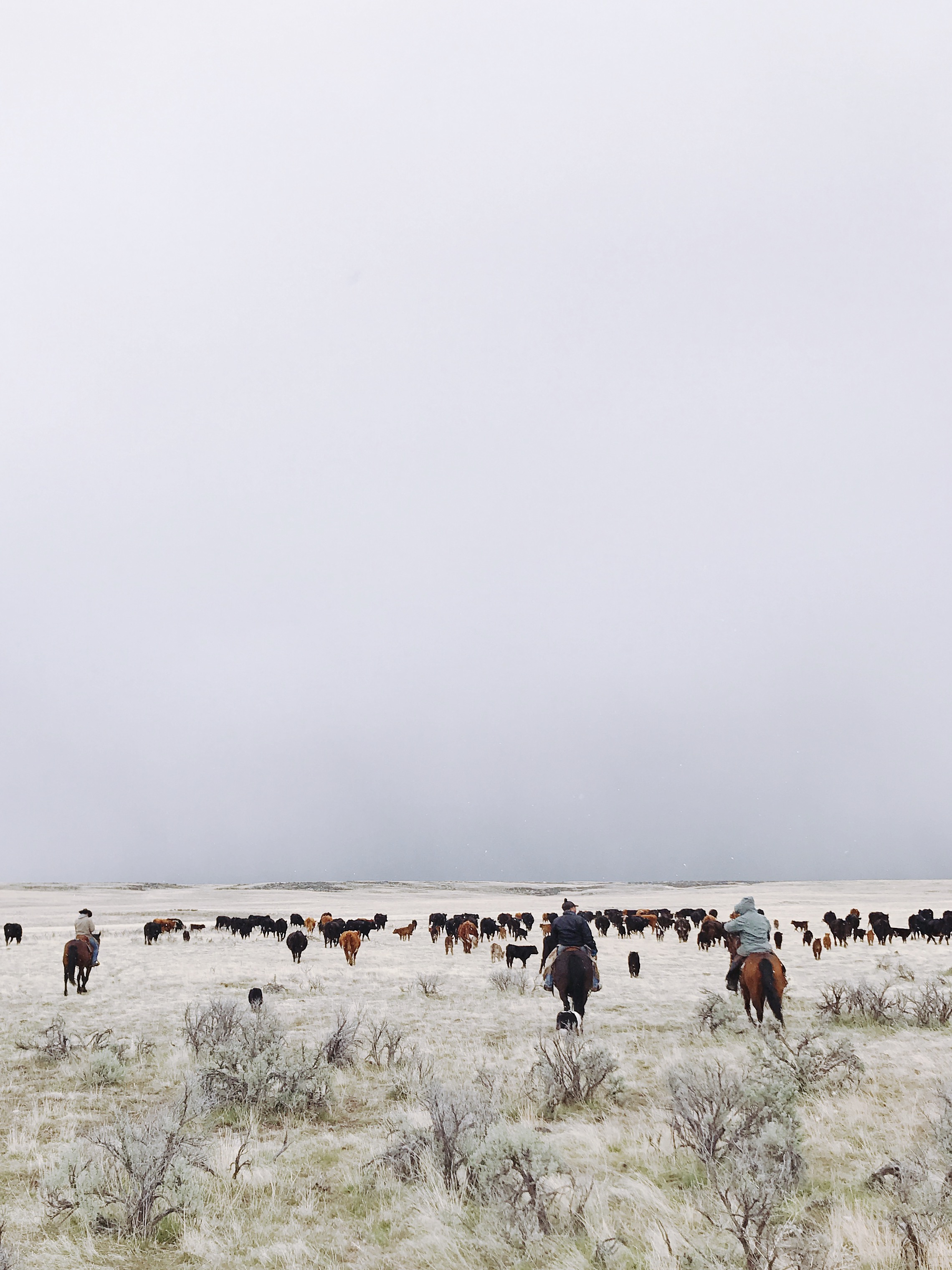 Moving cattle Modoc County   boxwoodavenue.com