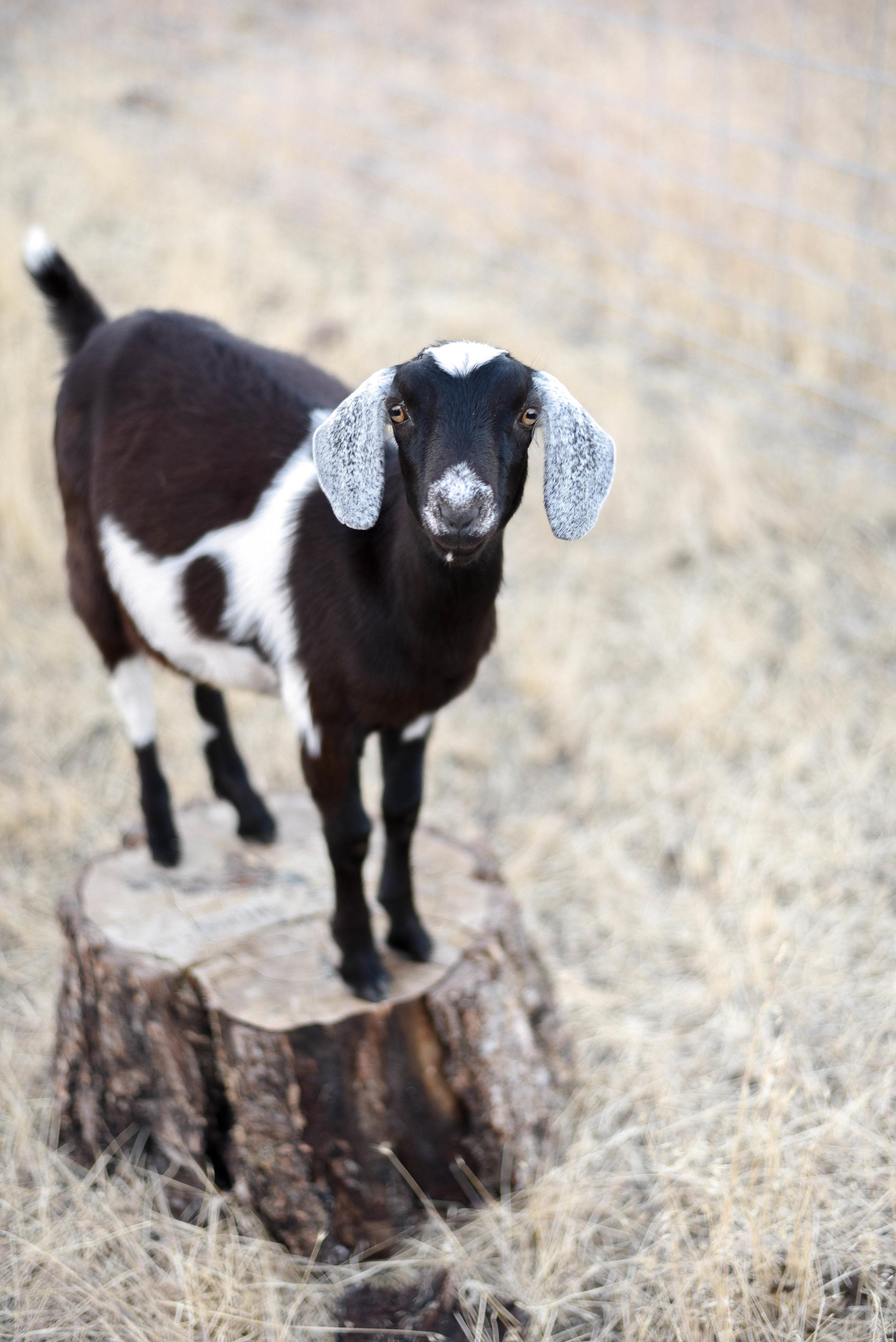 Copper toxicity in goats | boxwoodavenue.com