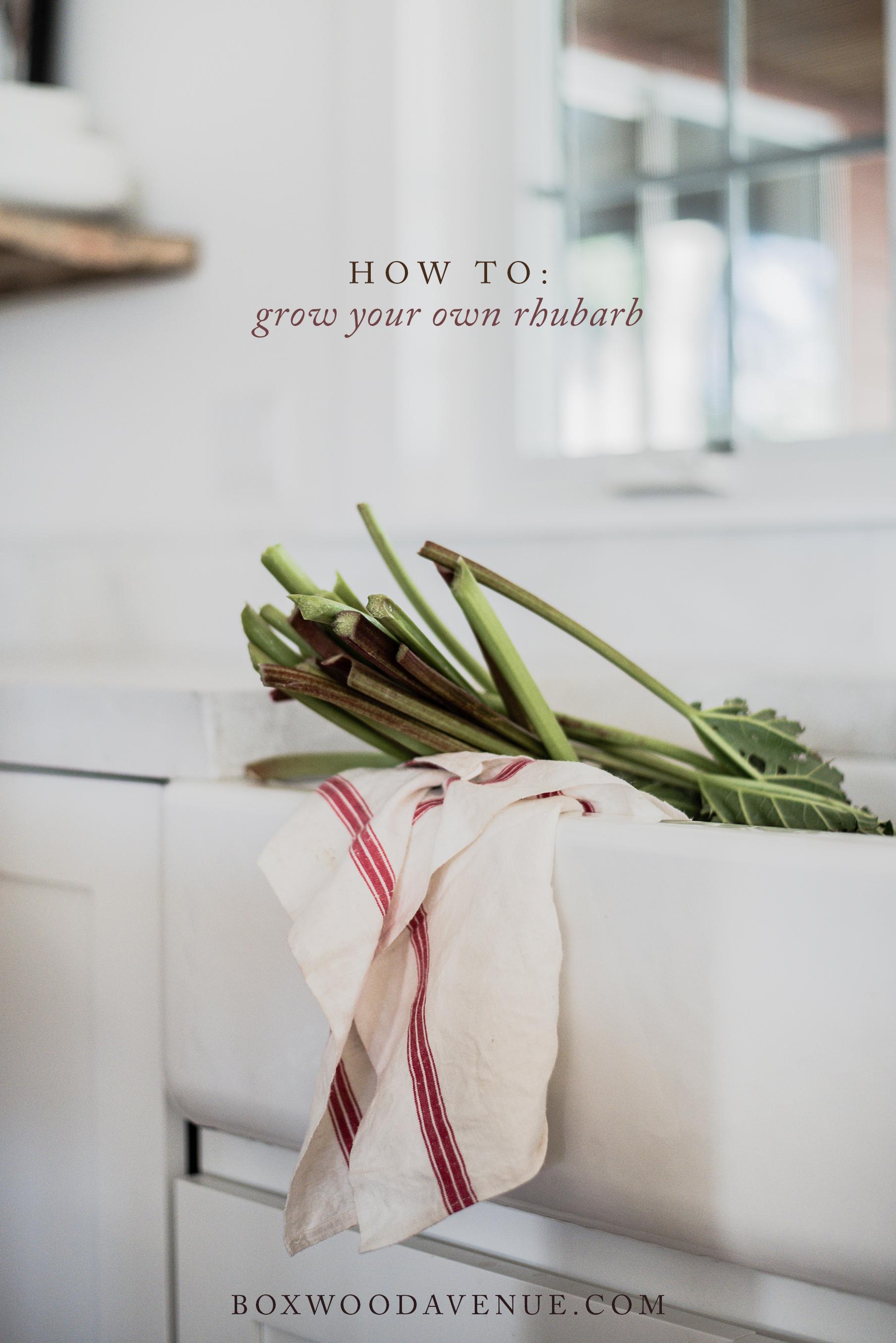 Simple recipes & beautiful rhubarb photography... How to grow rhubarb! | boxwoodavenue.com
