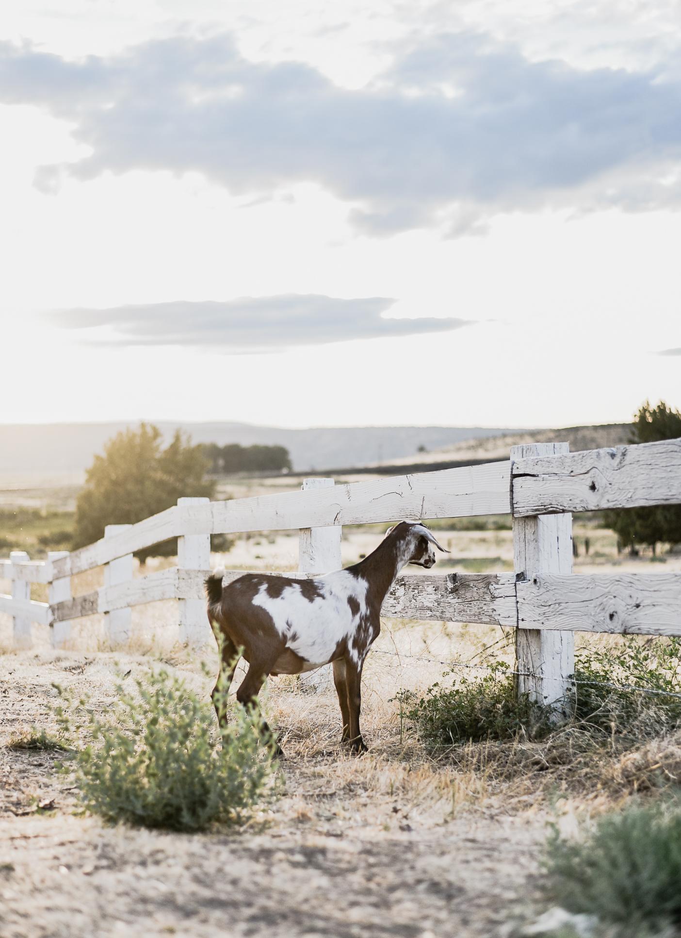 How to care for pet goats | boxwoodavenue.com