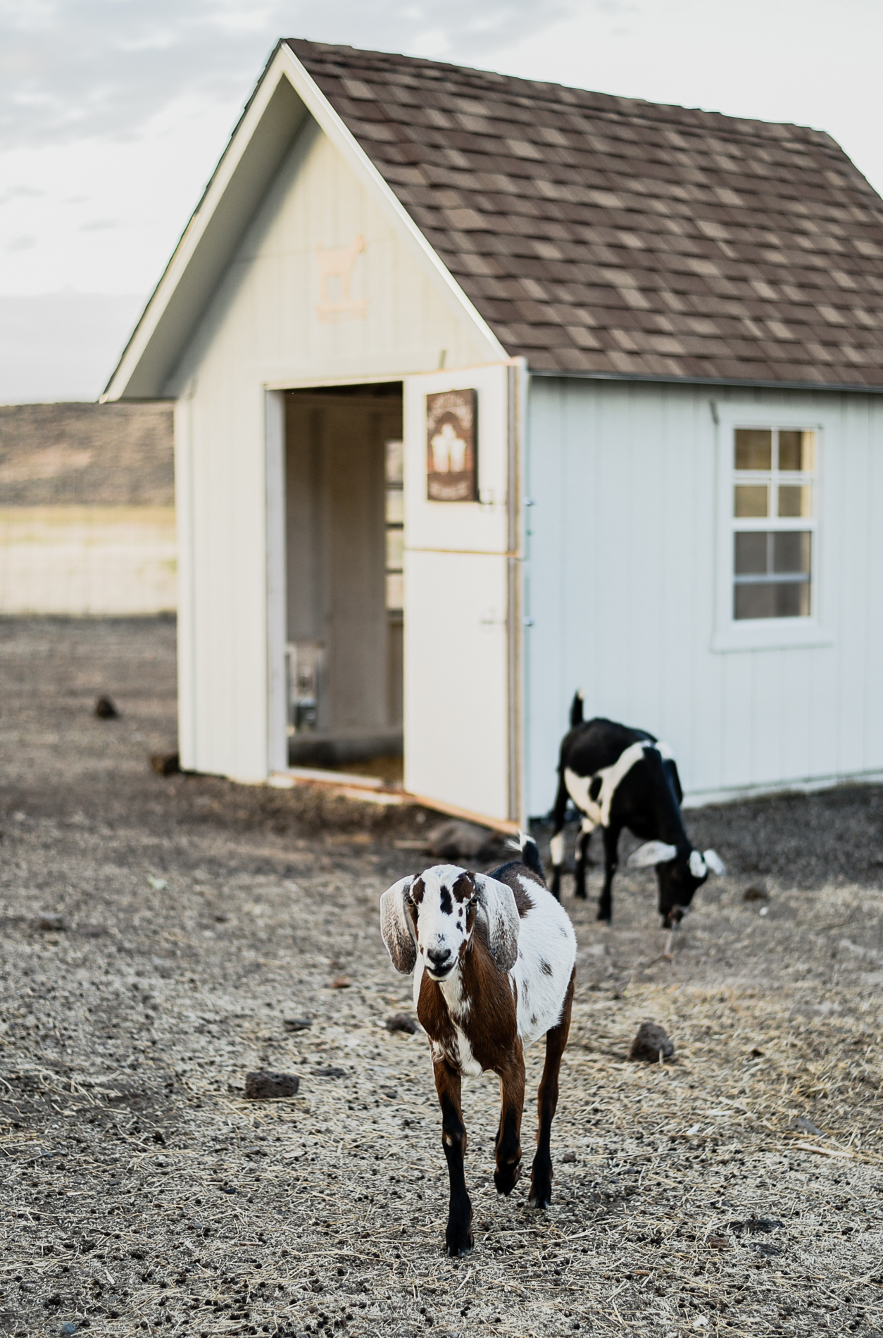Basic Goat Care Information: 15 Things I wish I knew Before Getting Goats | boxwoodavenue.com