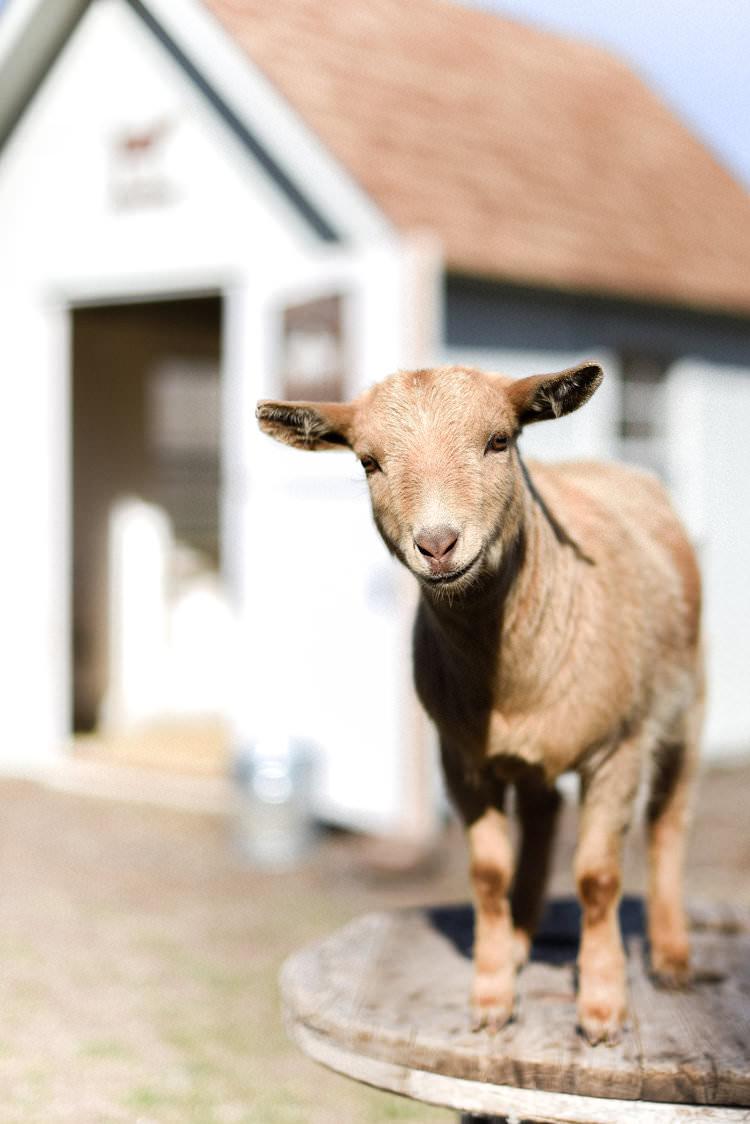 Mini goat from boxwoodavenue.com