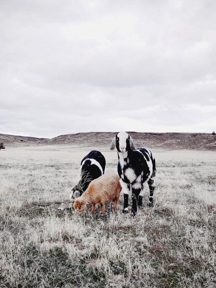 Miniature Nubians & Pygmy goats | boxwoodavenue.com