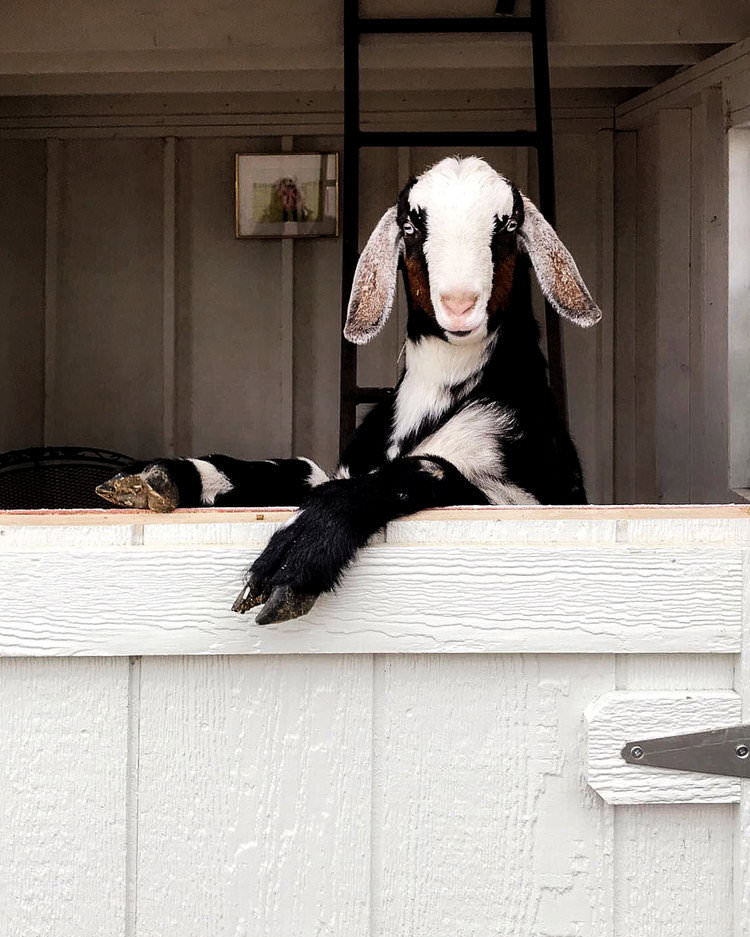 Miniature Nubian Goat \ boxwoodavenue.com