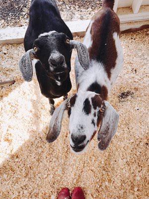 mini nubian goat - boxwoodavenue.com