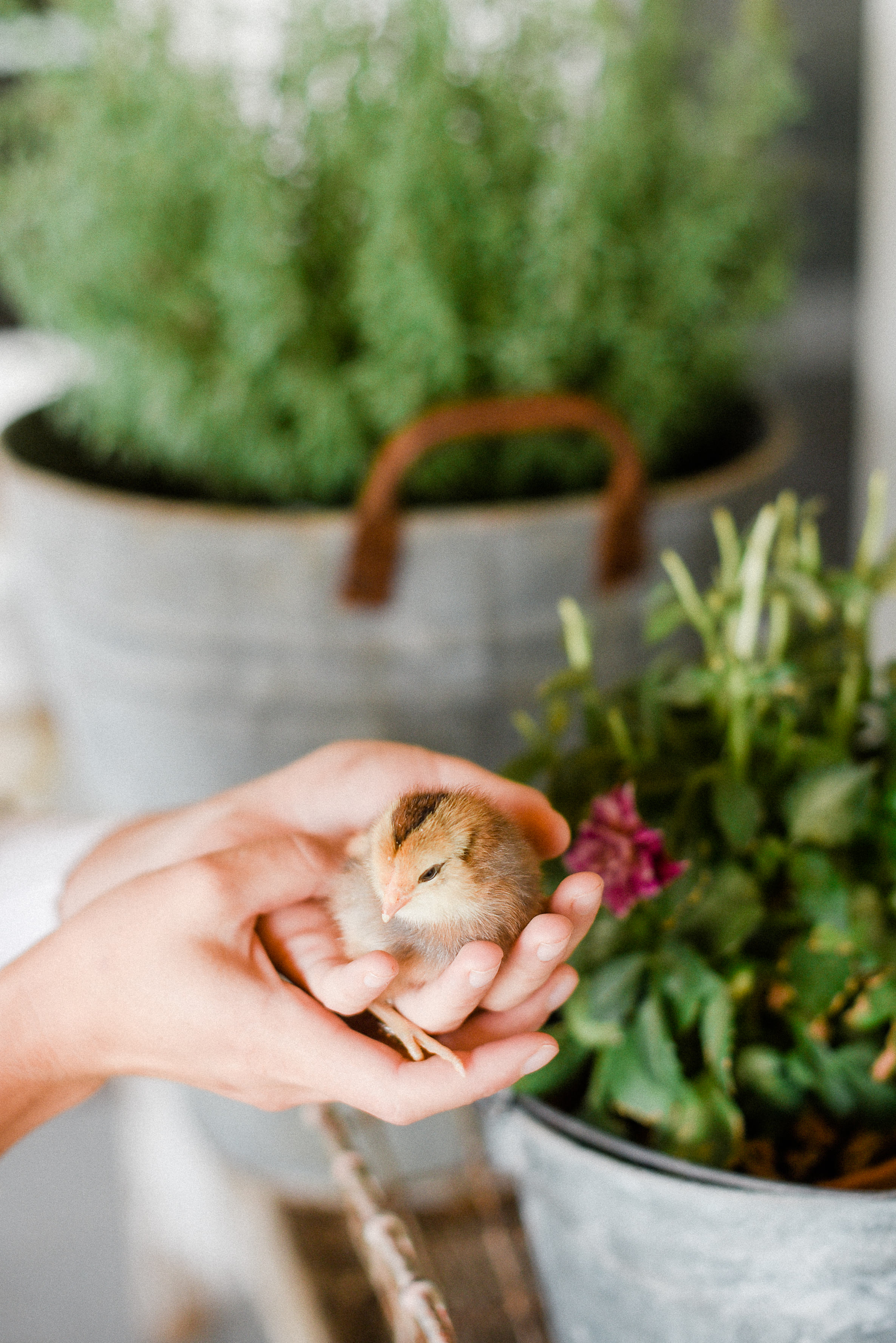 What supplies do you need to raise chicks? - To raise chicks, you will need some sort of brooder, a heat lamp, water trough, feed trough, and chick starter feed.