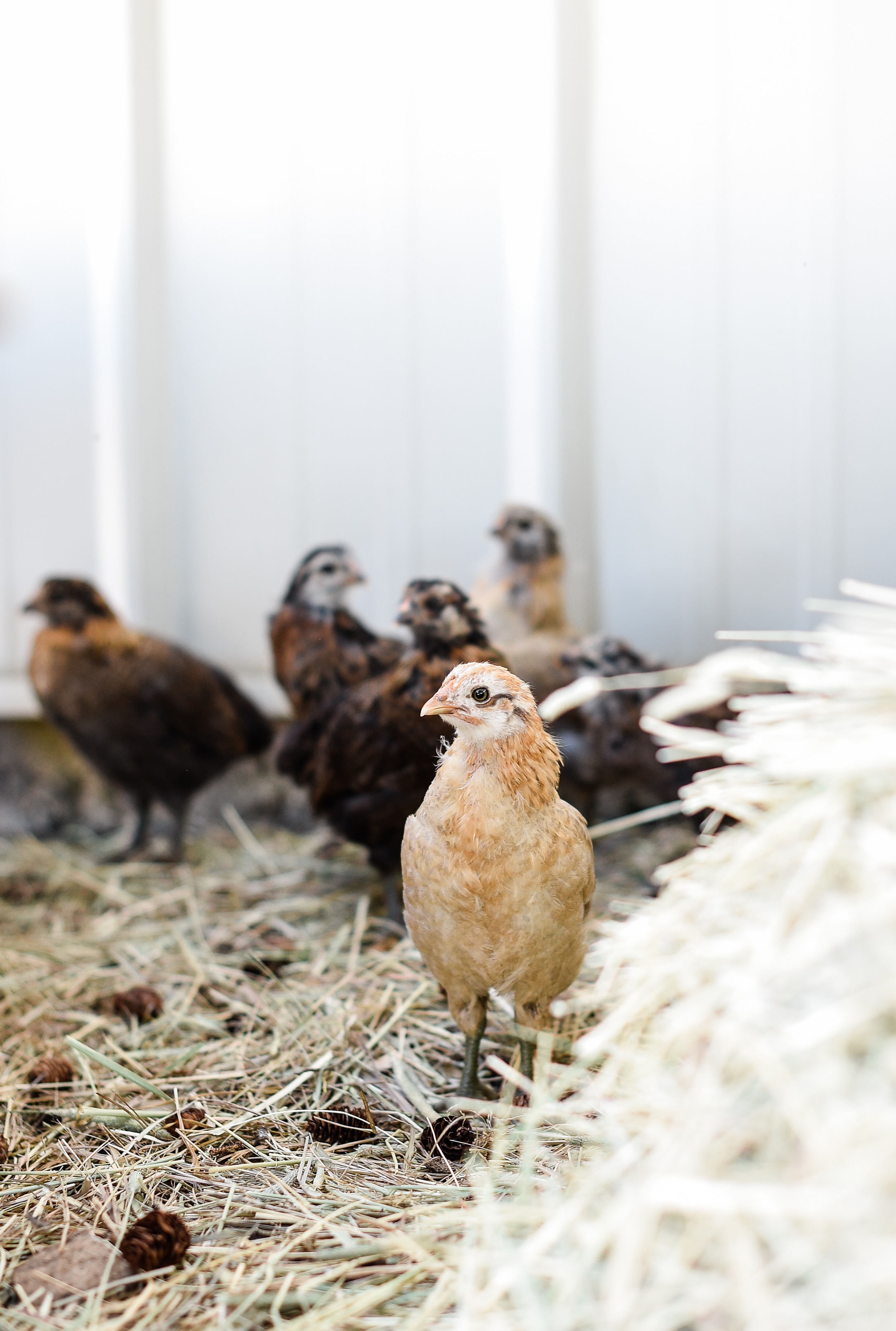 How to introduce chickens to chicks? - If you have mature hens, it's important to keep the chicks and hens separated until they are introduced and adjusted. The older hens will gang up on the chicks, and it won't make for a pretty sight! I have found it is best to place a small run for the chicks near the mature hens. This allows the mature hens to get to know the chicks without contact.