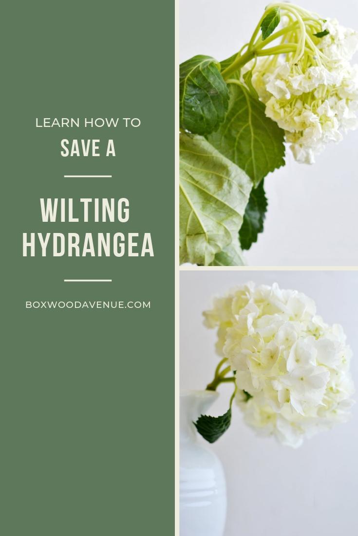 Save your wilted hydrangeas! boxwoodavenue.com