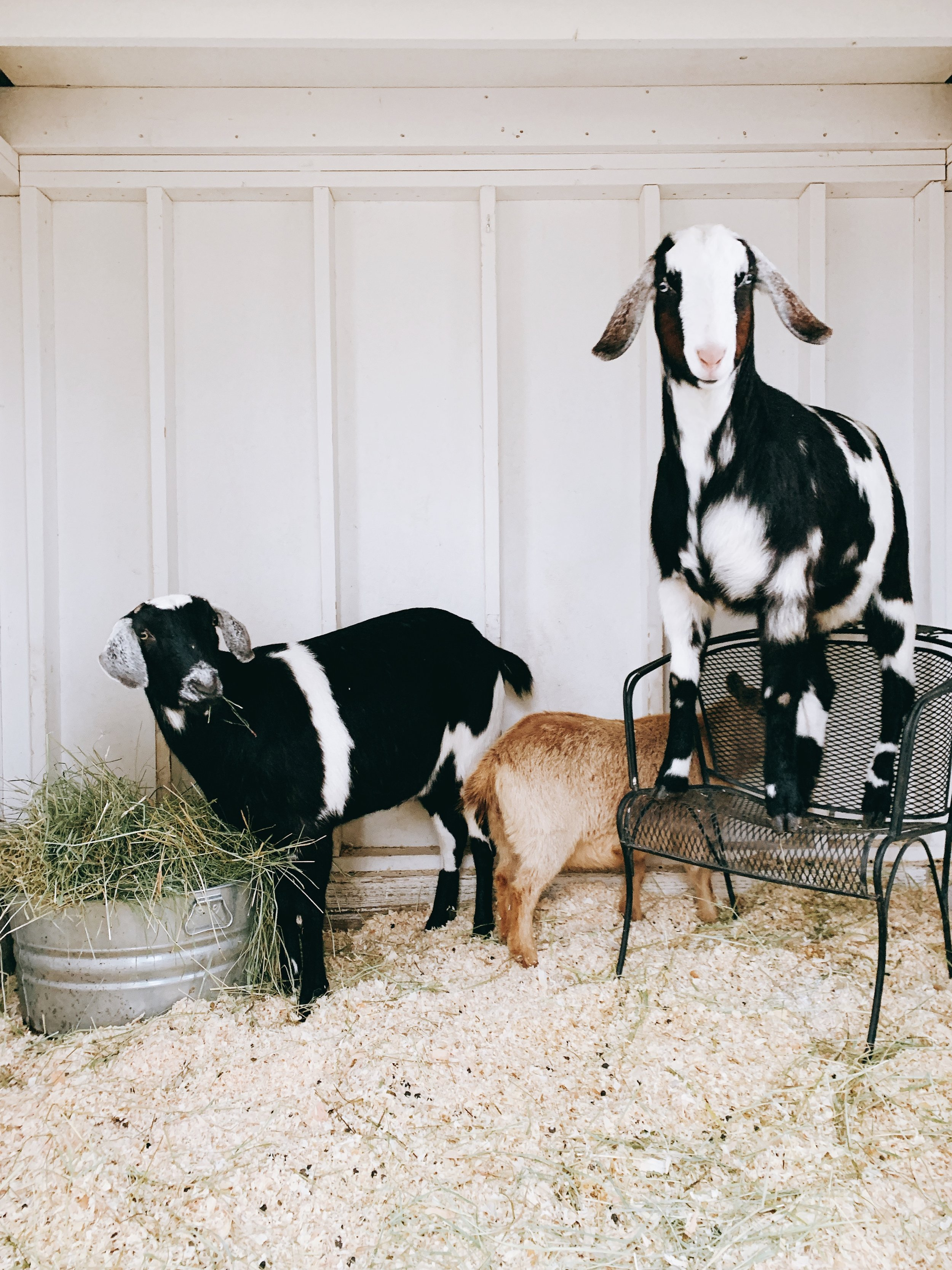 Raising goats is made easy when you have the correct supplies! These goat raising tips will help keep your goats happy and healthy! #goats #homestead #raisinggoats boxwoodavenue.com