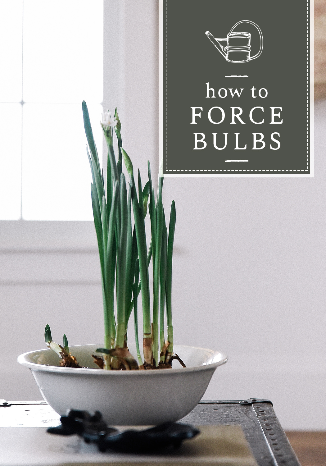 You can force bulbs indoors with just water and a vase! Forcing bulbs is beyond easy, and you will love having a little green in the spring! #forcingbulbs #springgardening #springdecor
