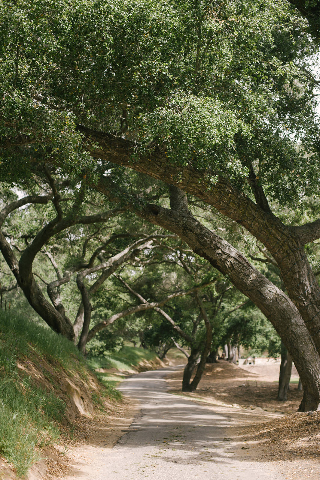 Gorgeous tree lined driveway at farmhouse in Santa Ynez California at Folded Hills Ranch.