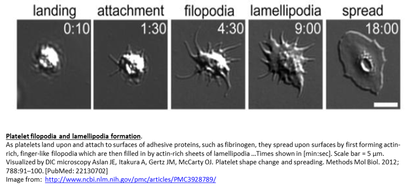 Progression of platelet change upon activation