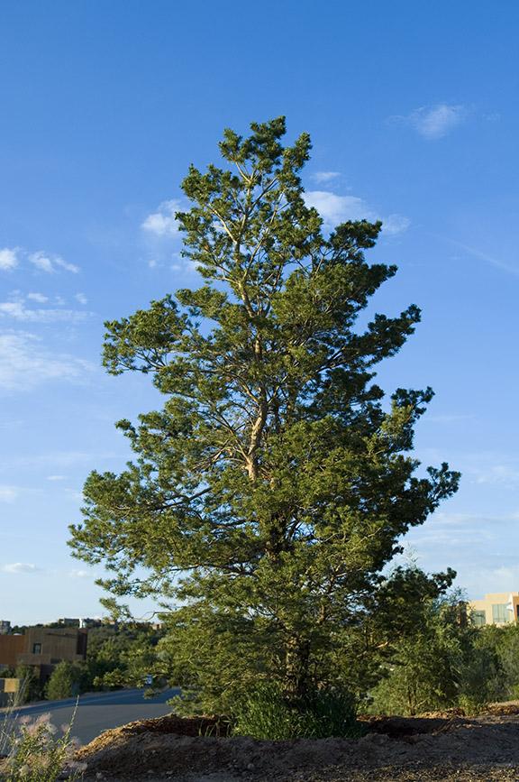 Large evergreen pine tree
