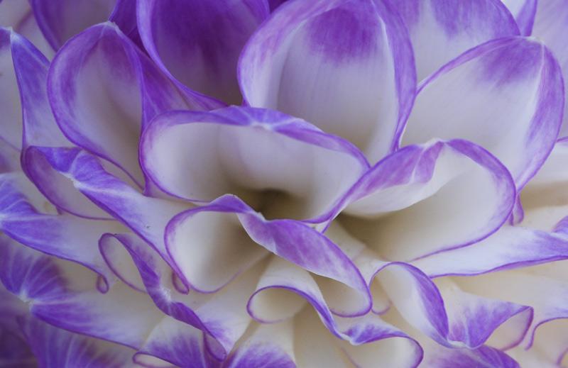 060909_7DSC0063-purple-dahl.jpg