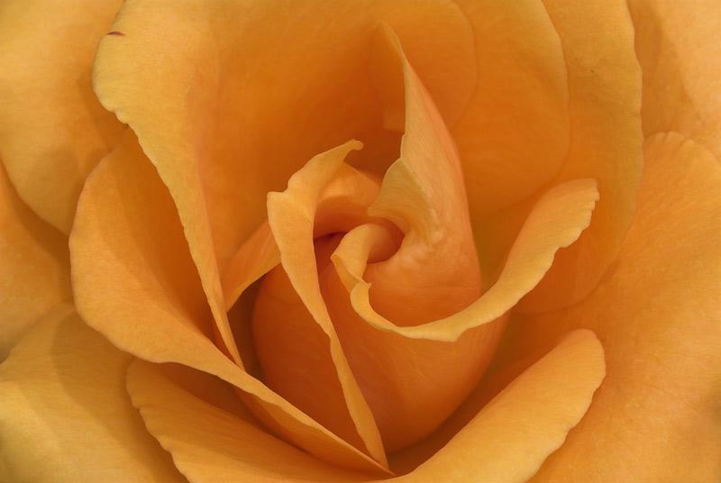 061204_DSC0010-orange-rose.jpg