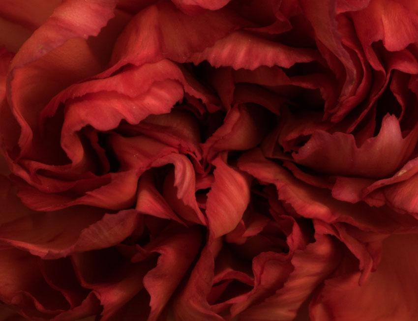 070113_DSC0011-red-carnatio.jpg