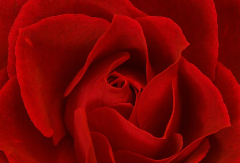 070120_DSC0001-red-rose.jpg
