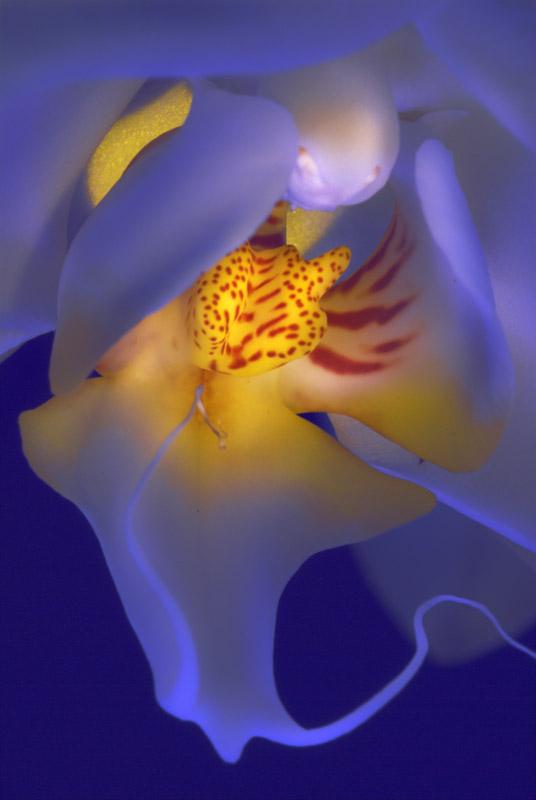 070225_DSC0190-blue-orchid.jpg