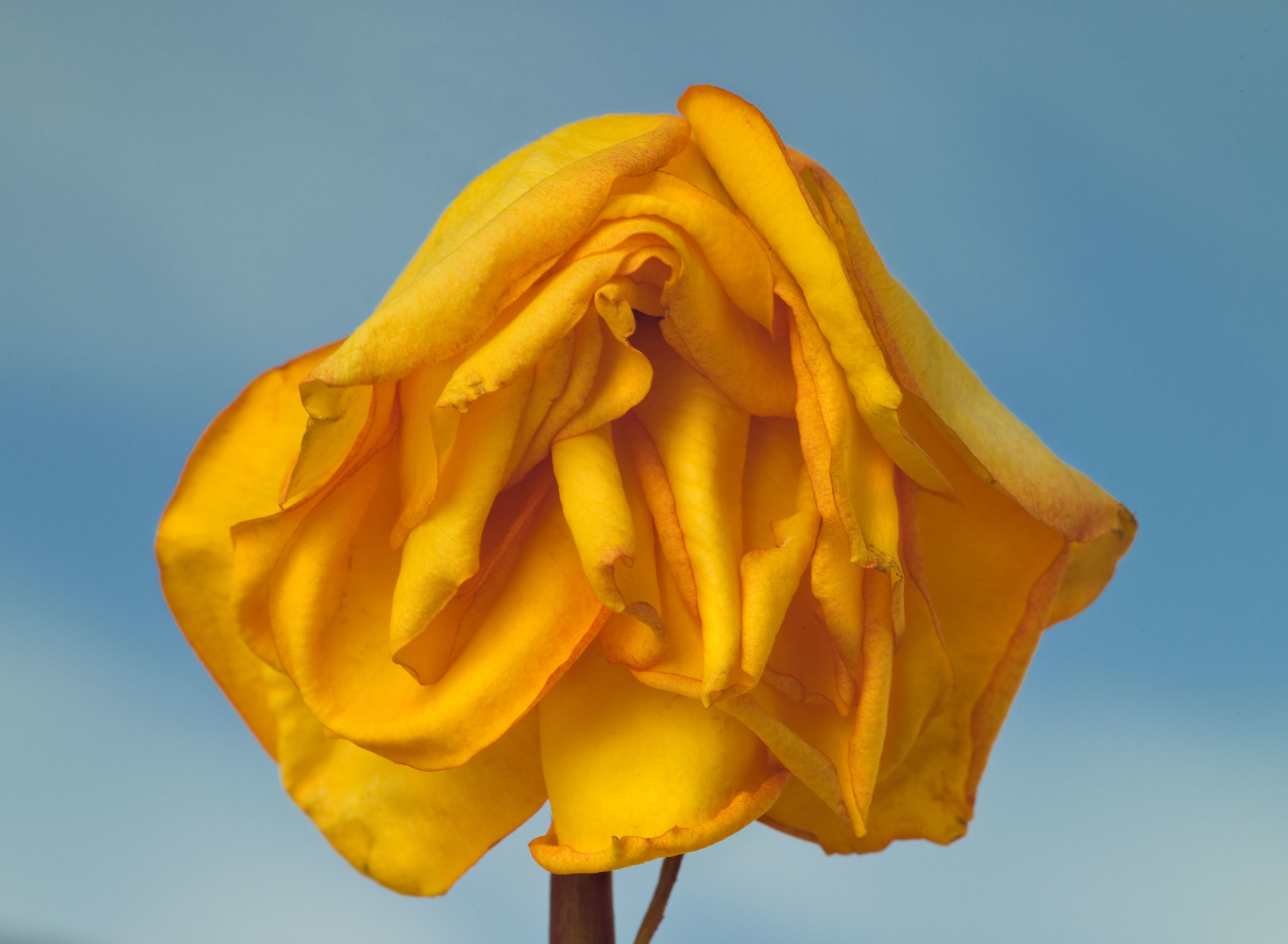 080209-MMFC0015-aging-yellow-rose.jpg