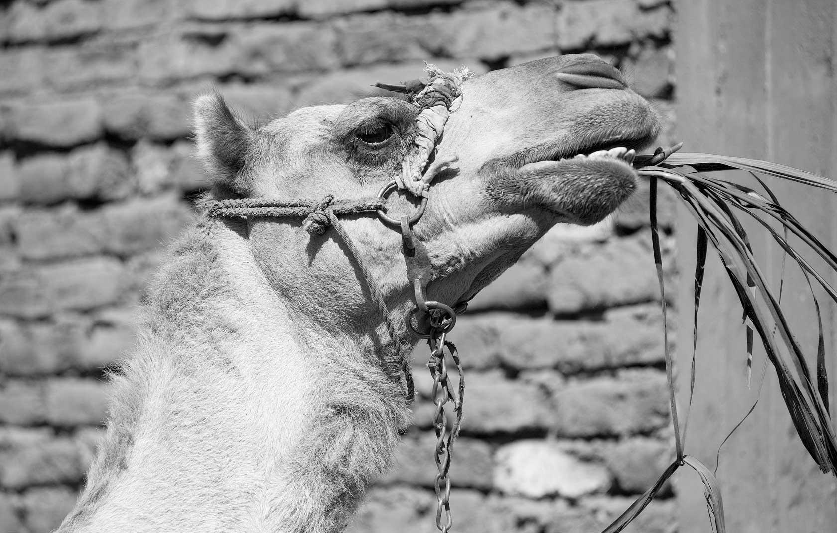 090100_DSC3066-Camel-in-Luxor.jpg