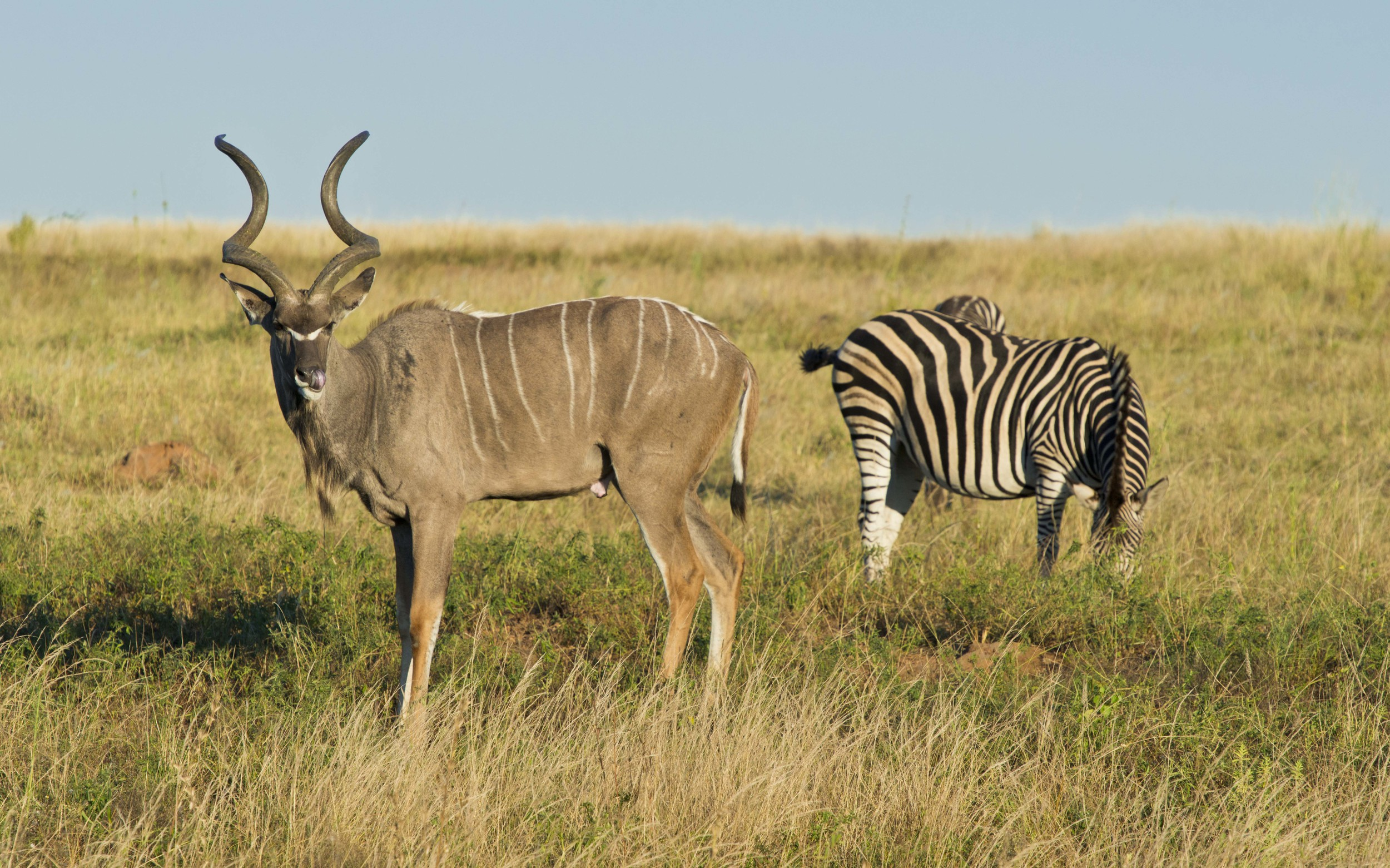 130420_DSC2965 Kudo anjd Zebra.jpg
