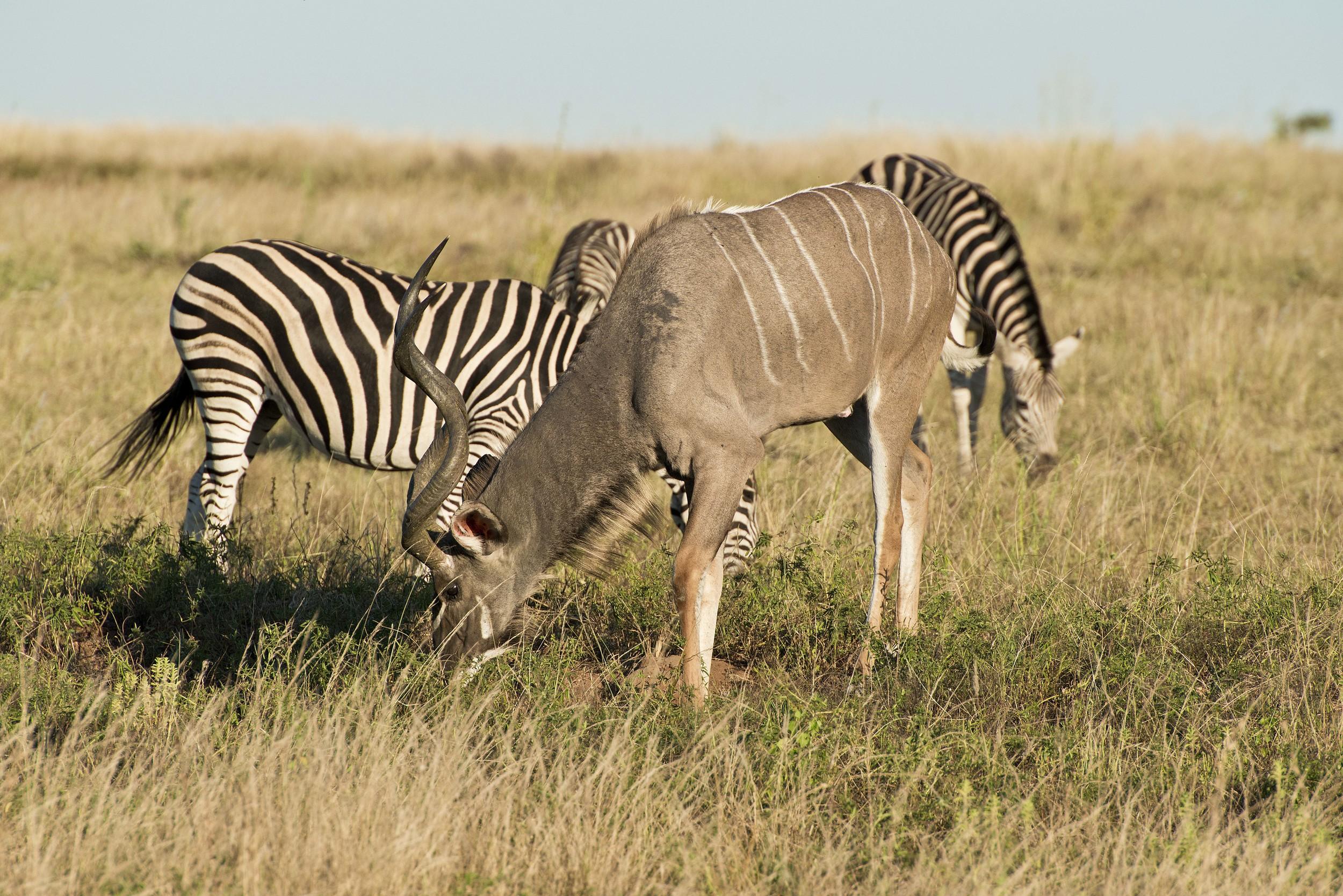 130420_DSC2957 Kudo and Zebra.jpg