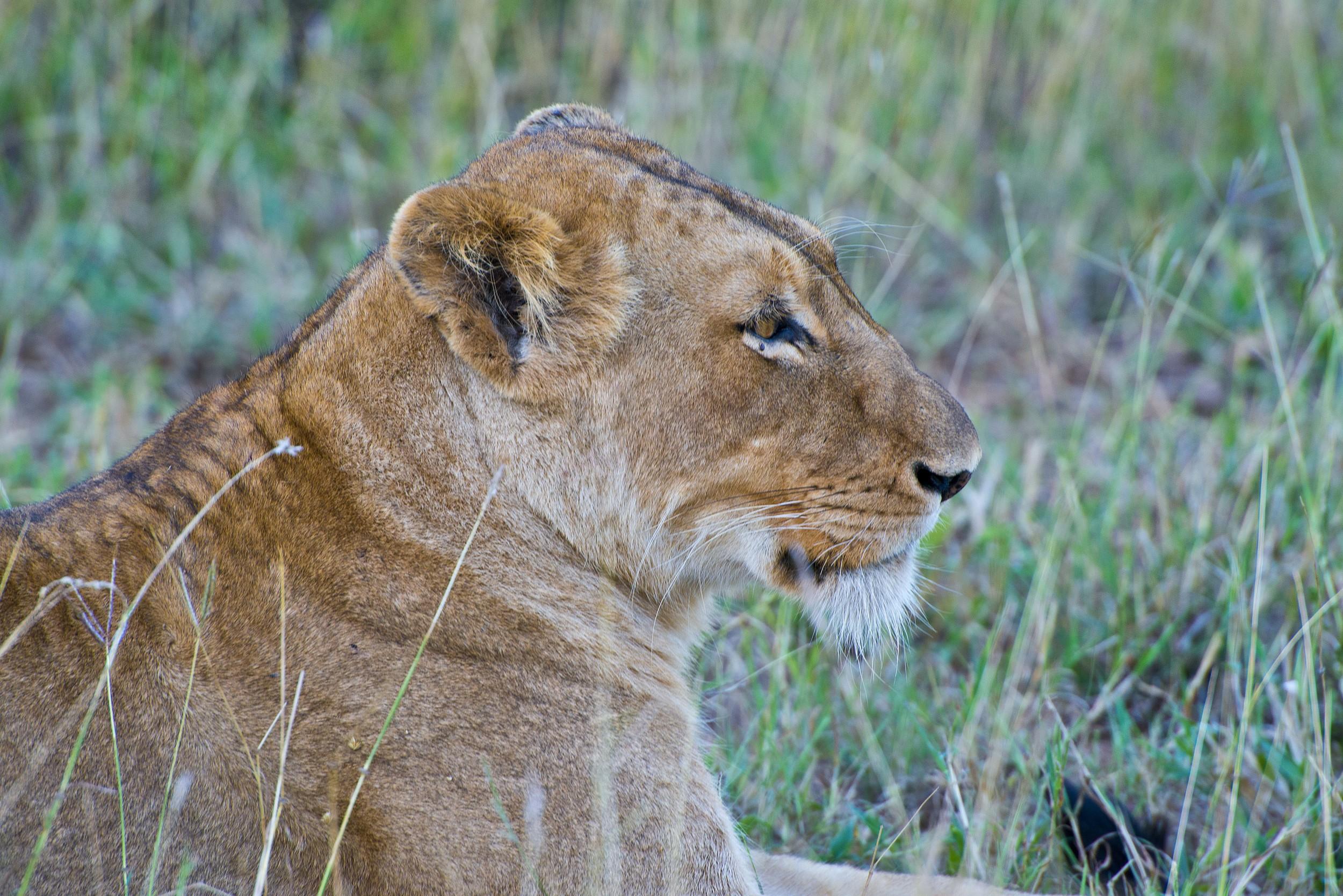 130420_DSC3036 Lioness in the Grass.jpg