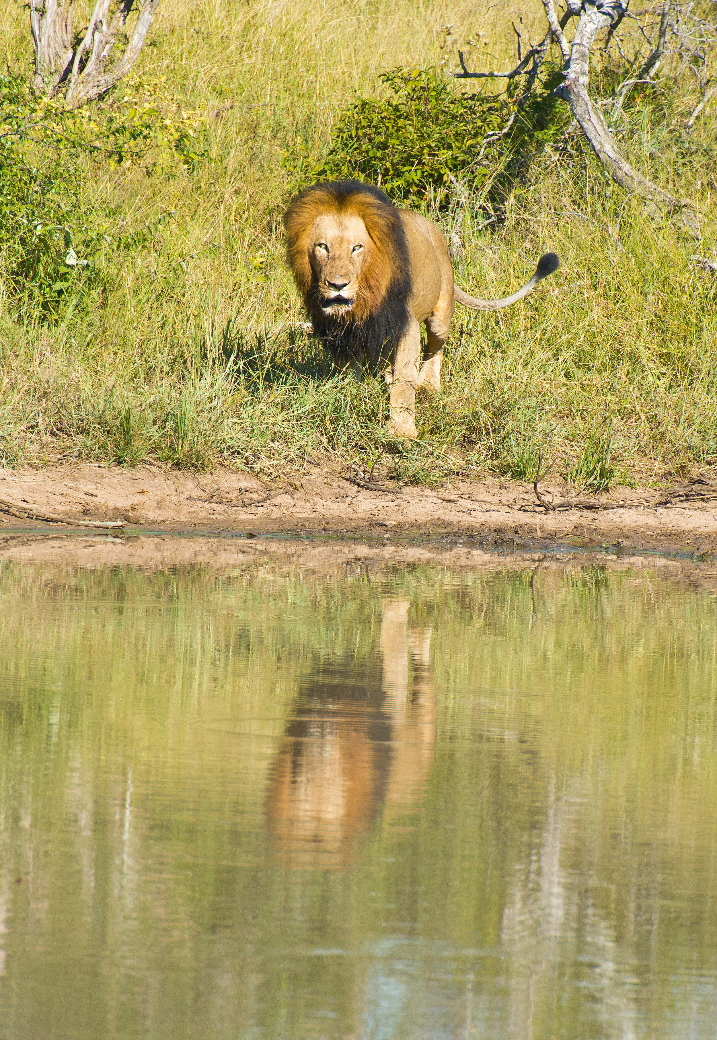 130420_DSC3208 Male lion at the watering hole.jpg