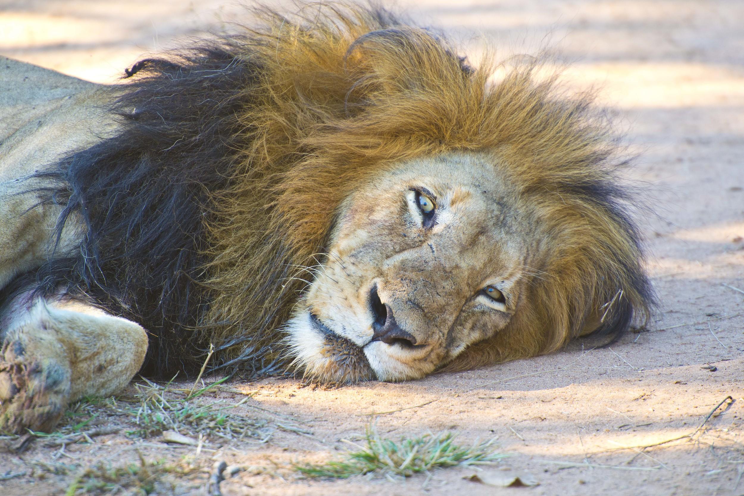 130420_DSC3213 Resting Male Lion after eating.jpg