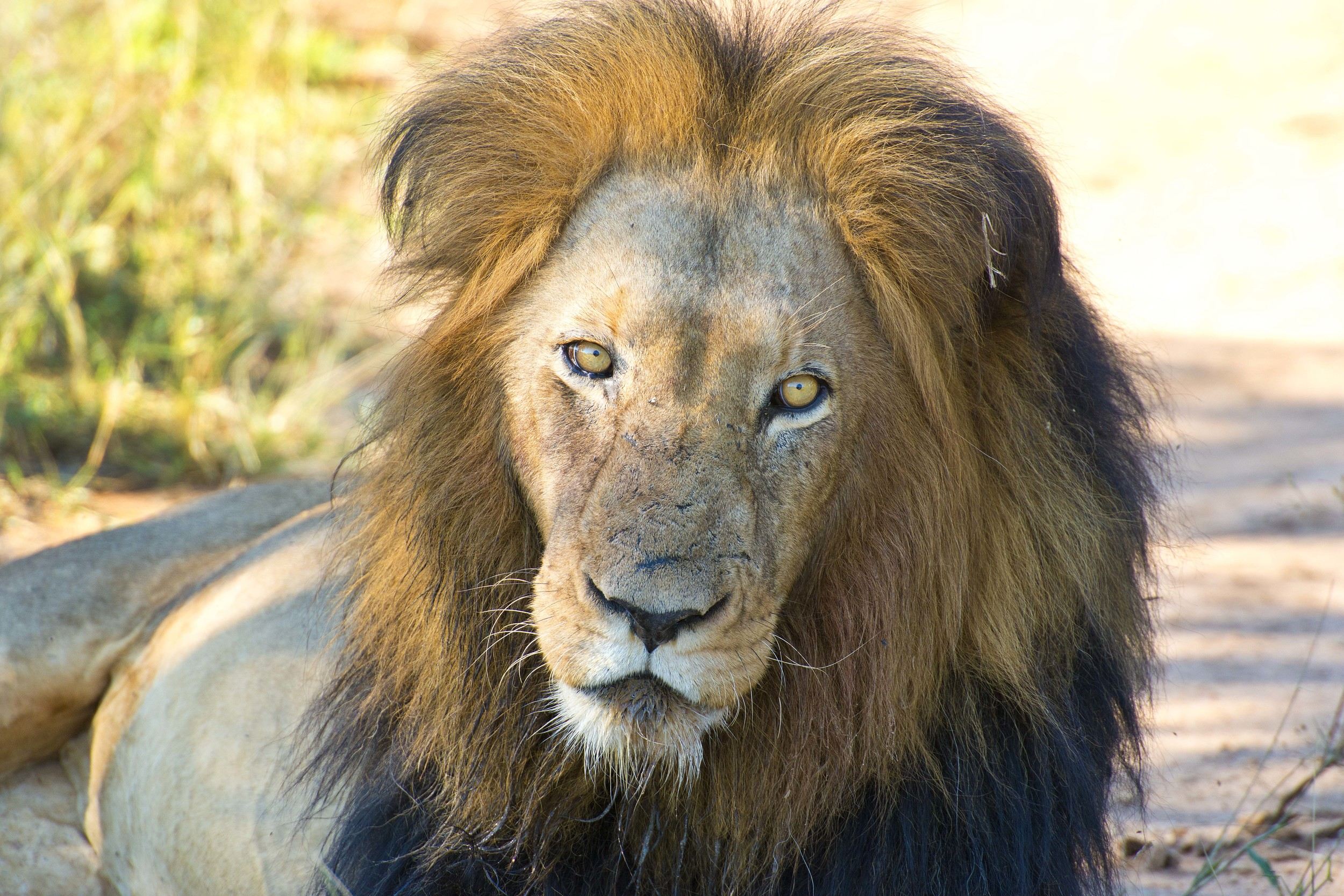130420_DSC3235 Male Lion Sitting For Portrait.jpg