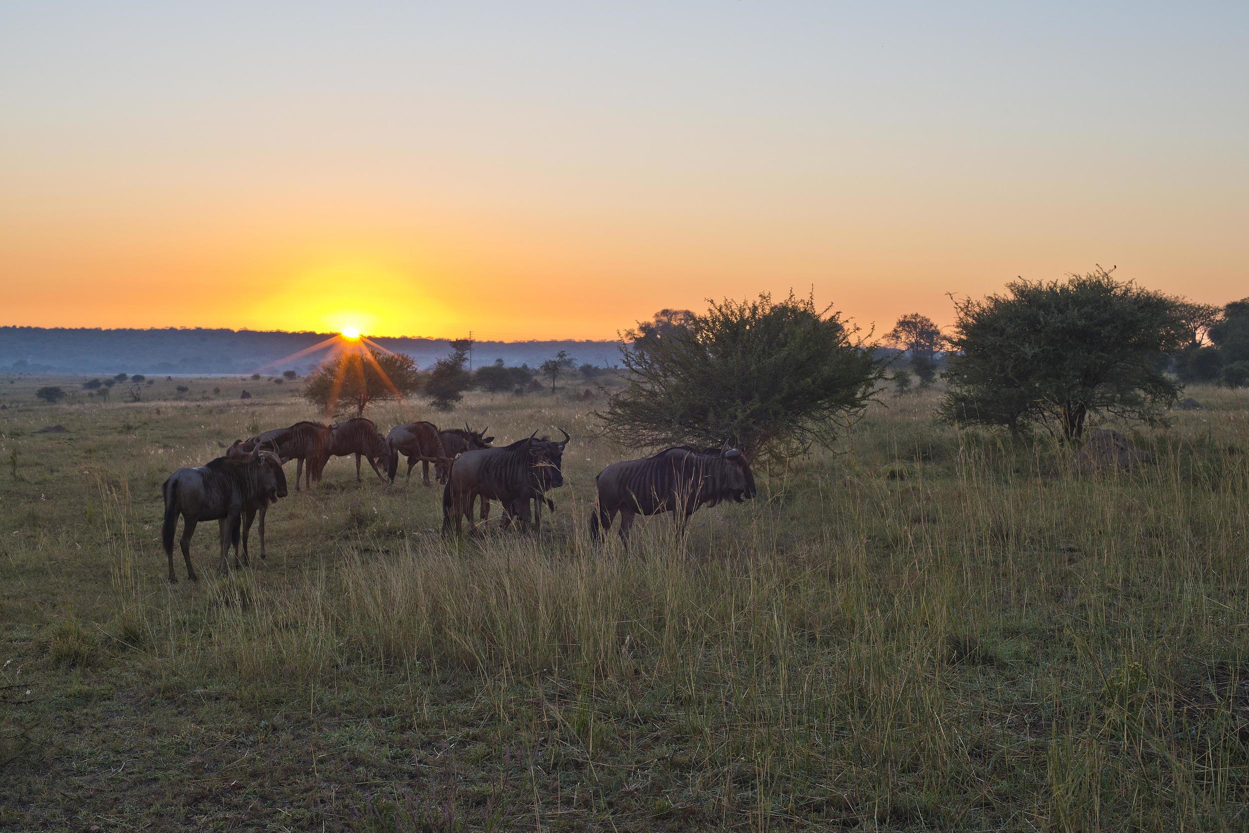 130420_DSC3514 Wildebeest on the Bushveld at Sunrise.jpg