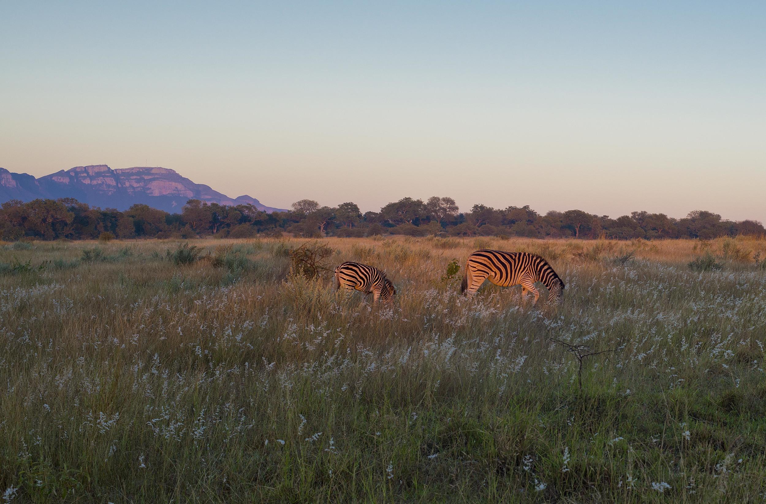 130420_DSC3546 Zebra at Sunrise.jpg