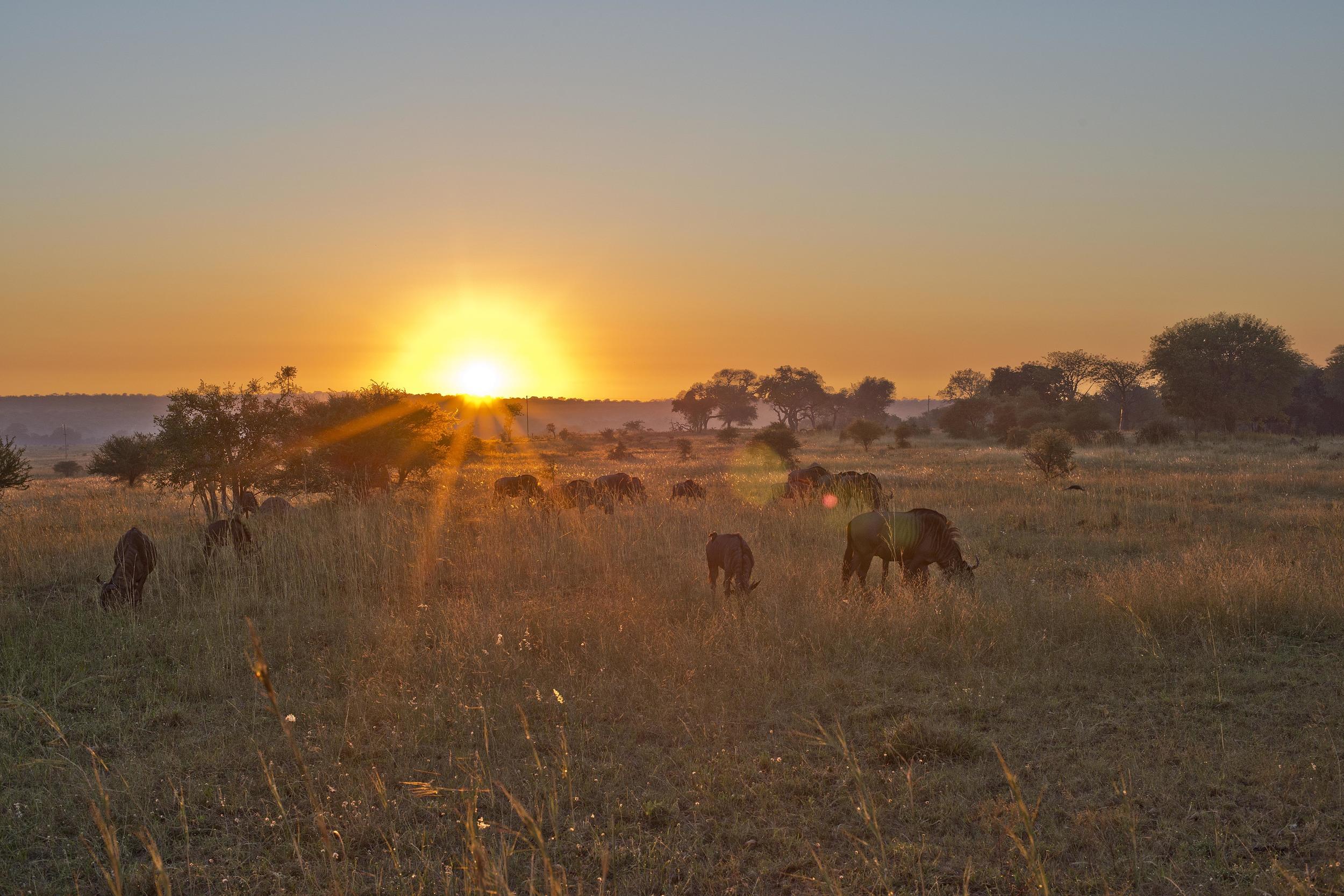 130420_DSC3535 More Wildebeest on the Bushveld at Sunrise.jpg