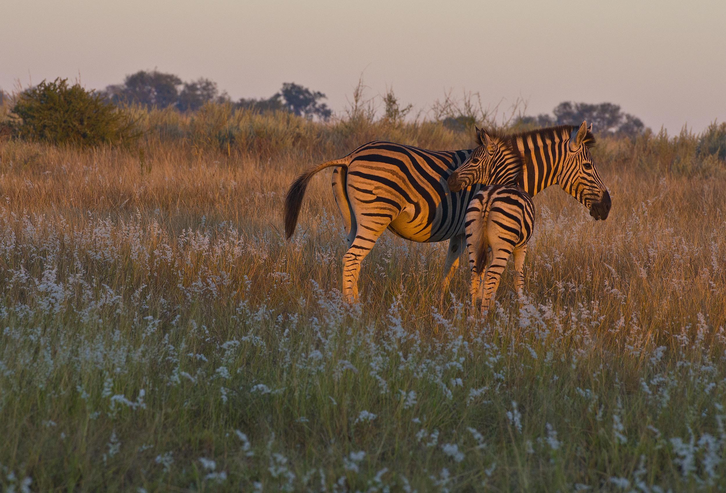 130420_DSC3561 Mother and Baby Zebra at Sunrise.jpg