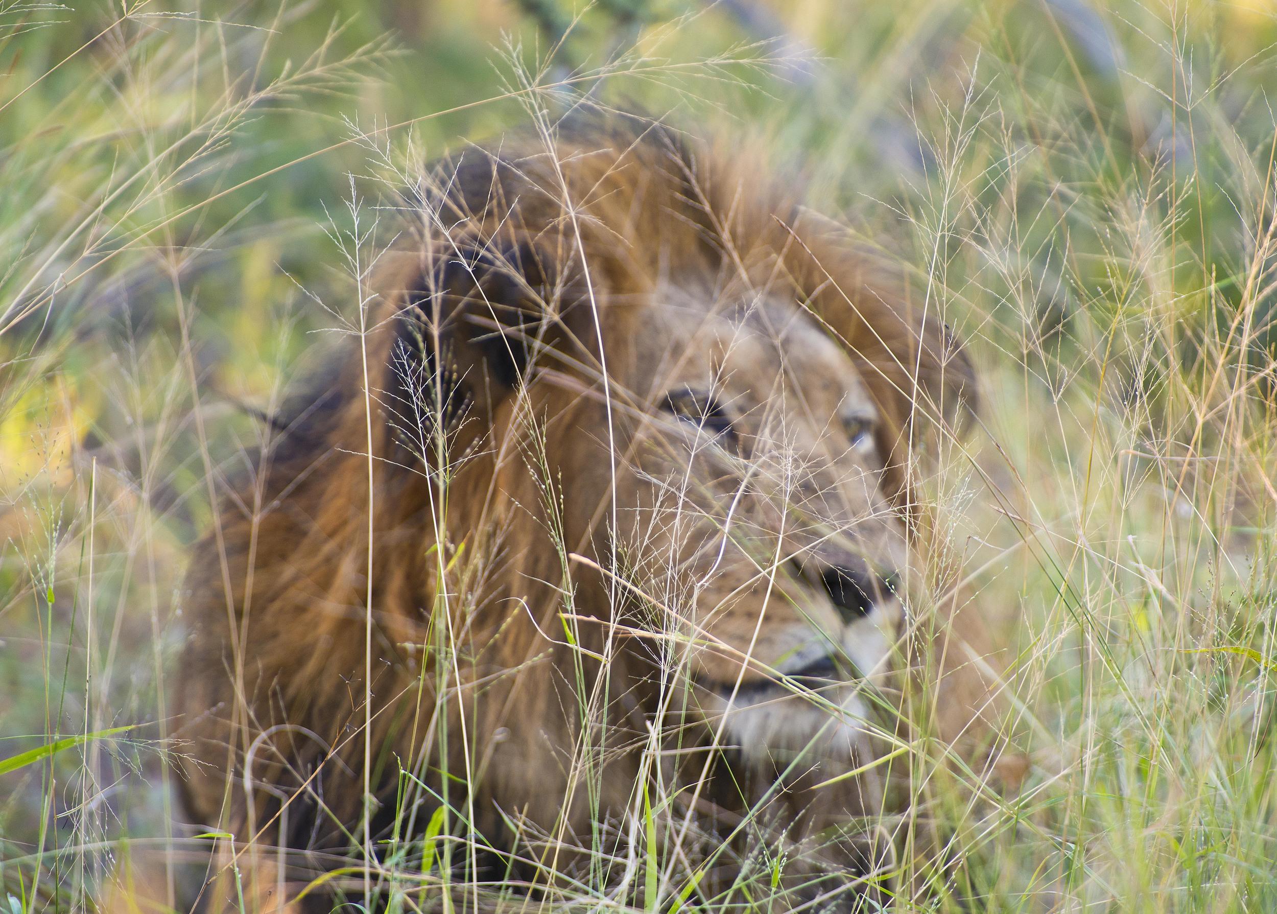130420_DSC3581 Lion in the Bushveld.jpg