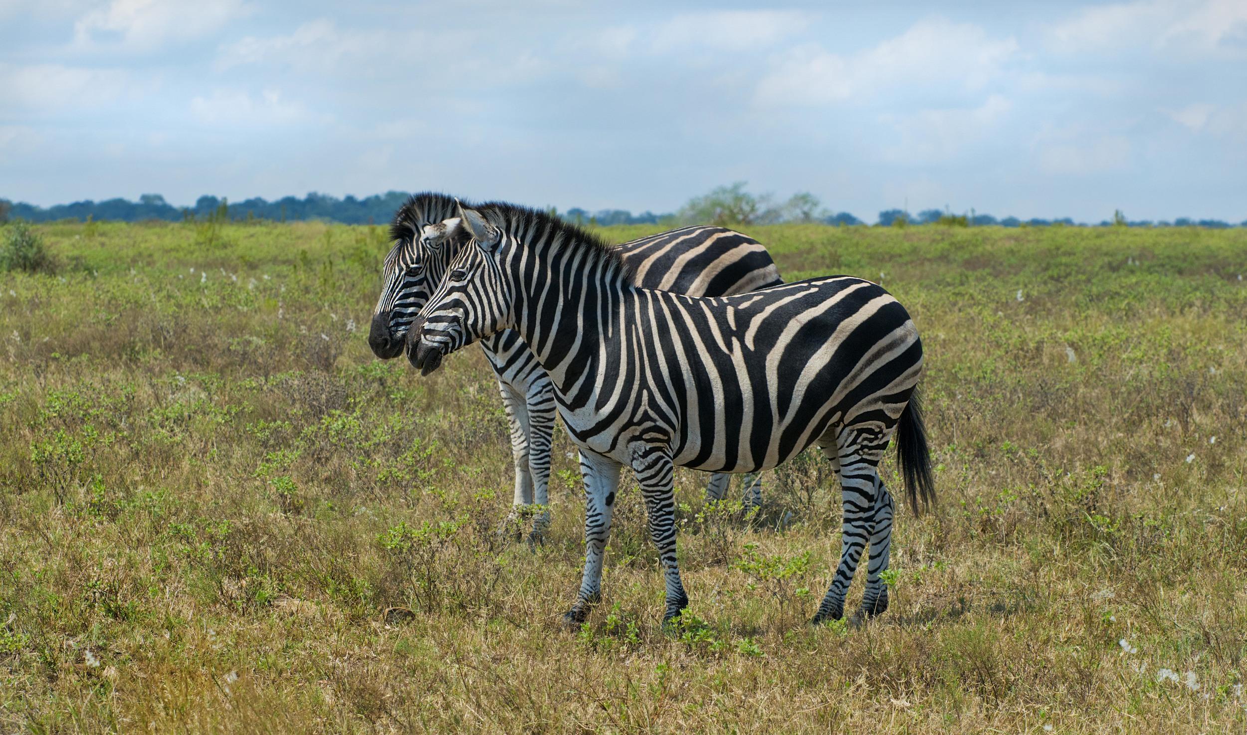 130420_DSC3742 Zebras on the Bushveld.jpg