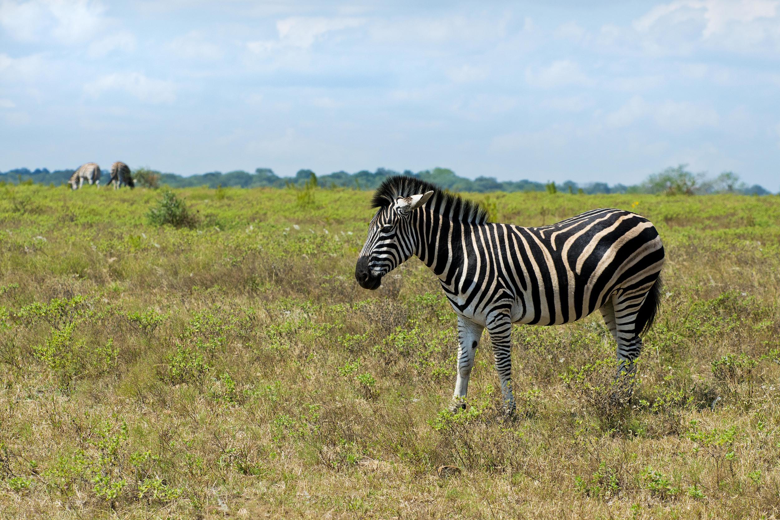 130420_DSC3771 Zebras Fore and Back.jpg