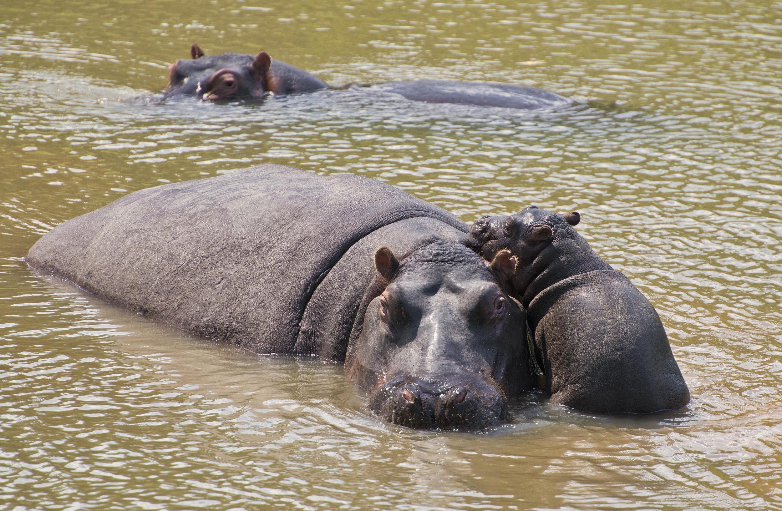 130420_DSC3858 Hippo Family.jpg