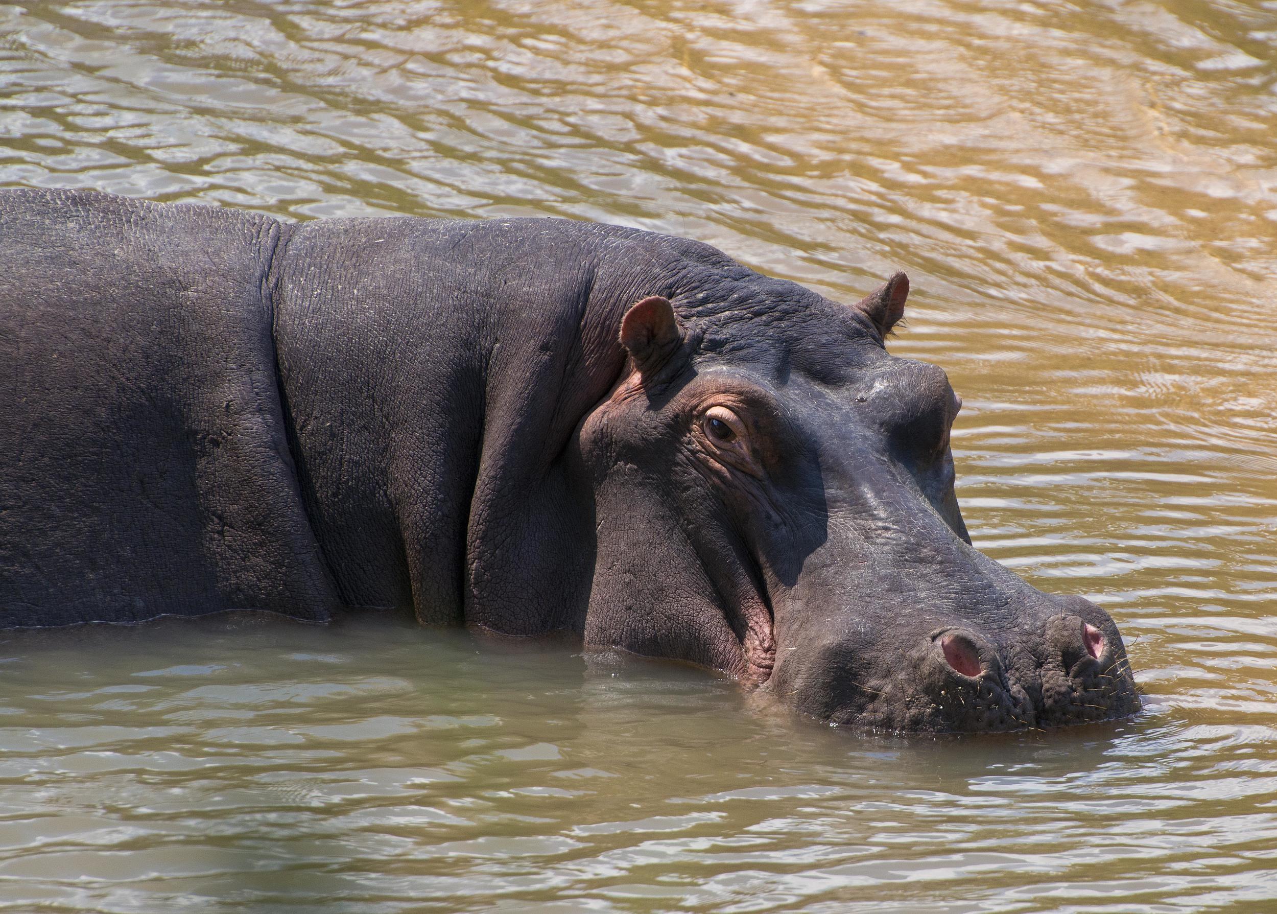 130420_DSC3872 Solitary Hippo.jpg